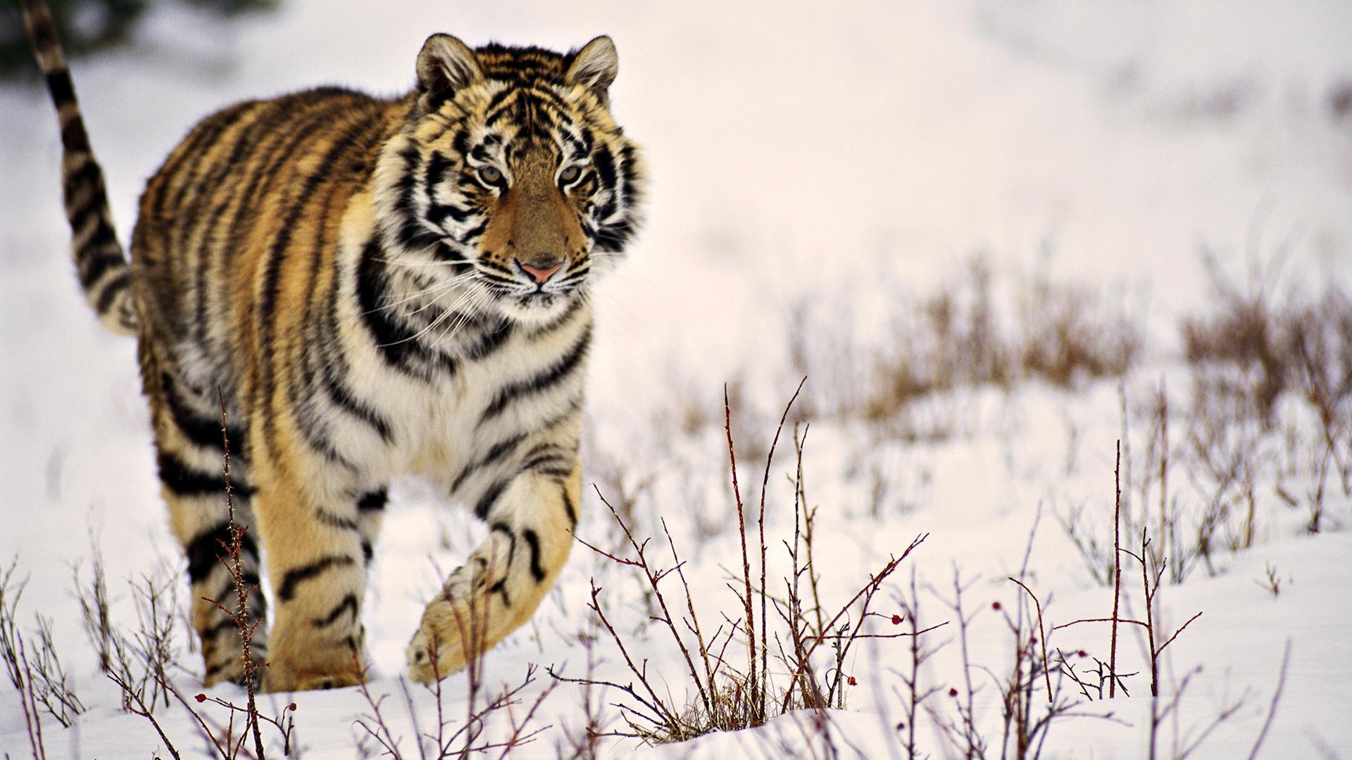 Baby Tiger Wallpapers Desktop Android Fire White Roar Lion For ...