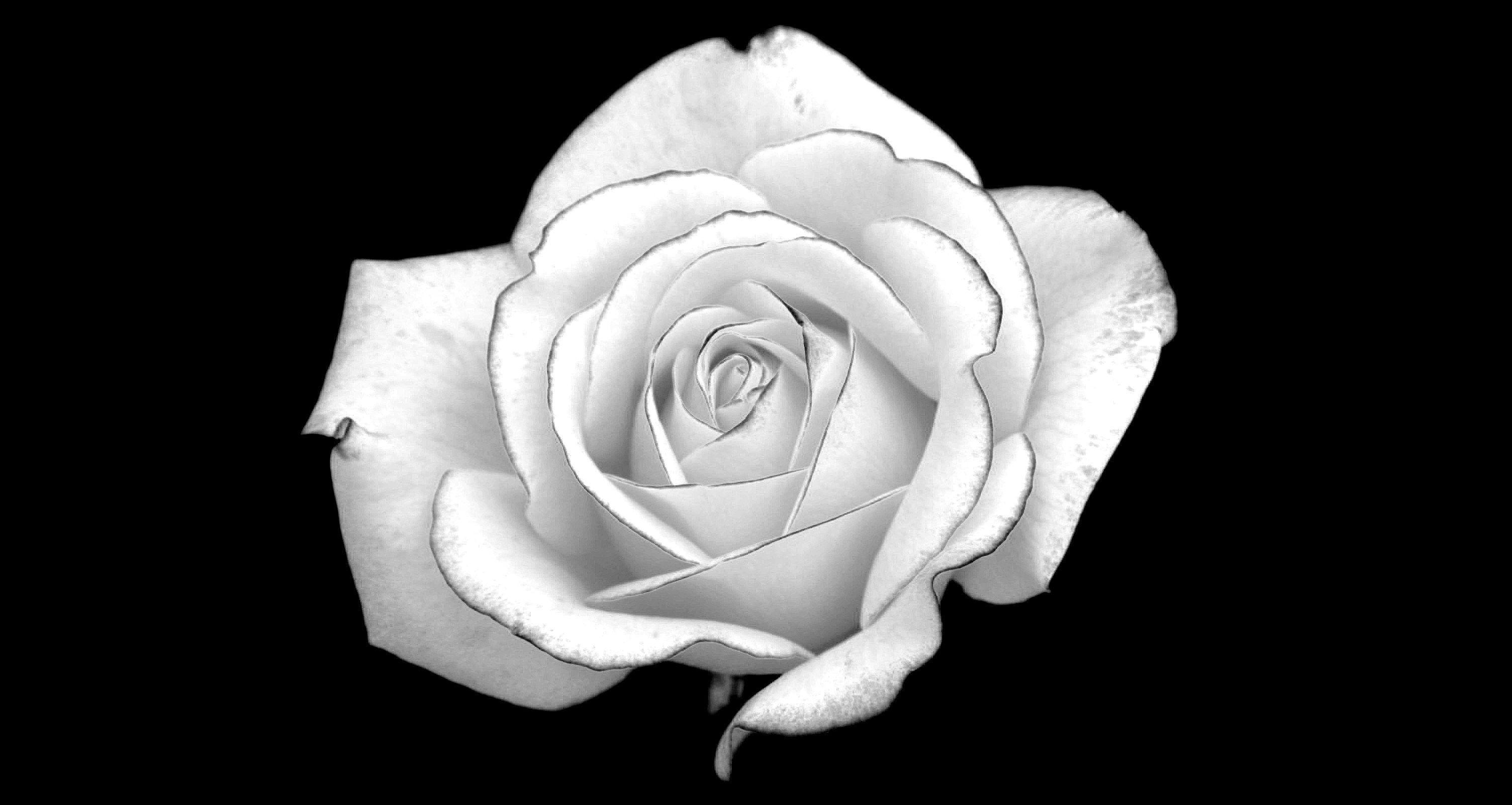 Flowers For > Black And White Rose Backgrounds