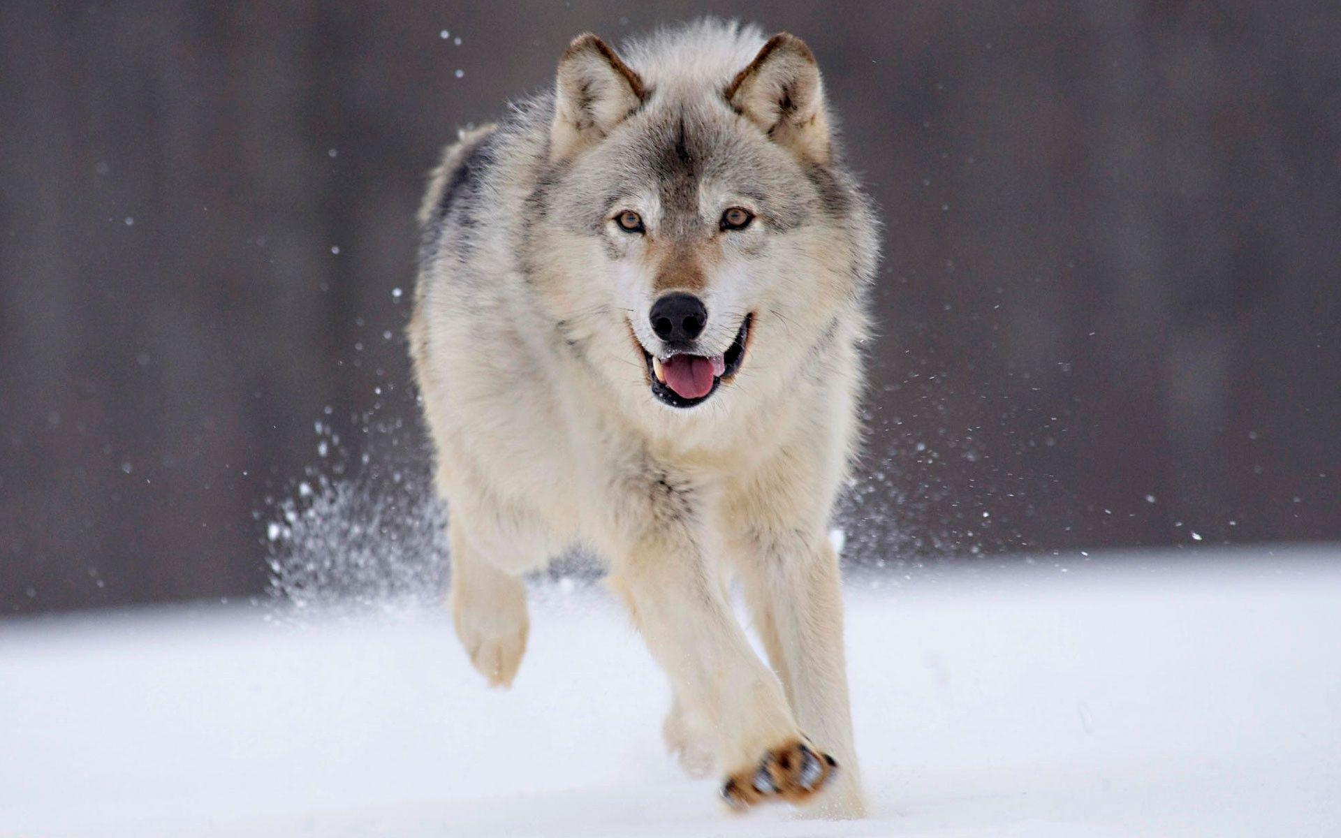Beautiful wolf wallpapers wallpaper cave for Gorgeous in gray