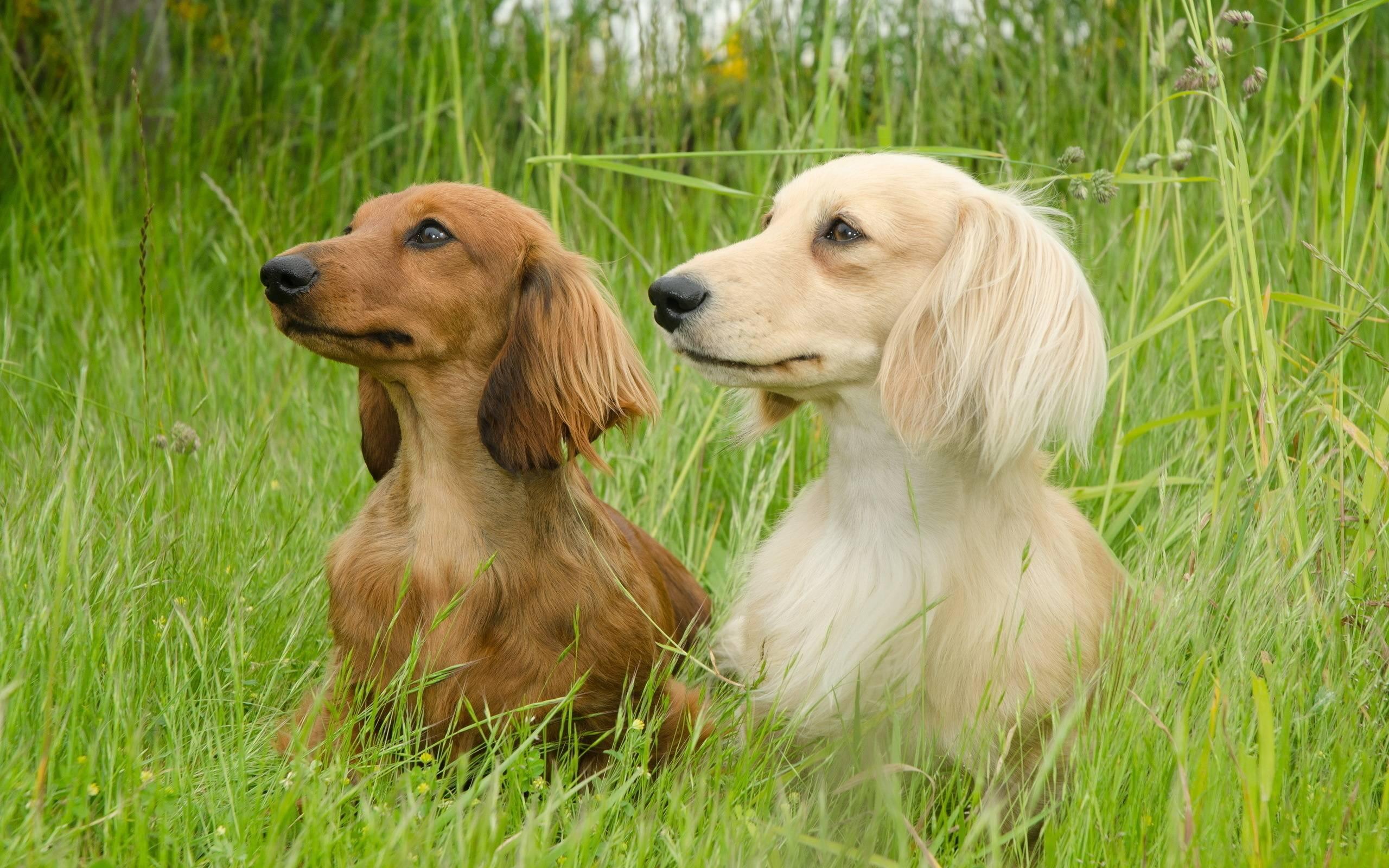 Dachshund Dog Shows