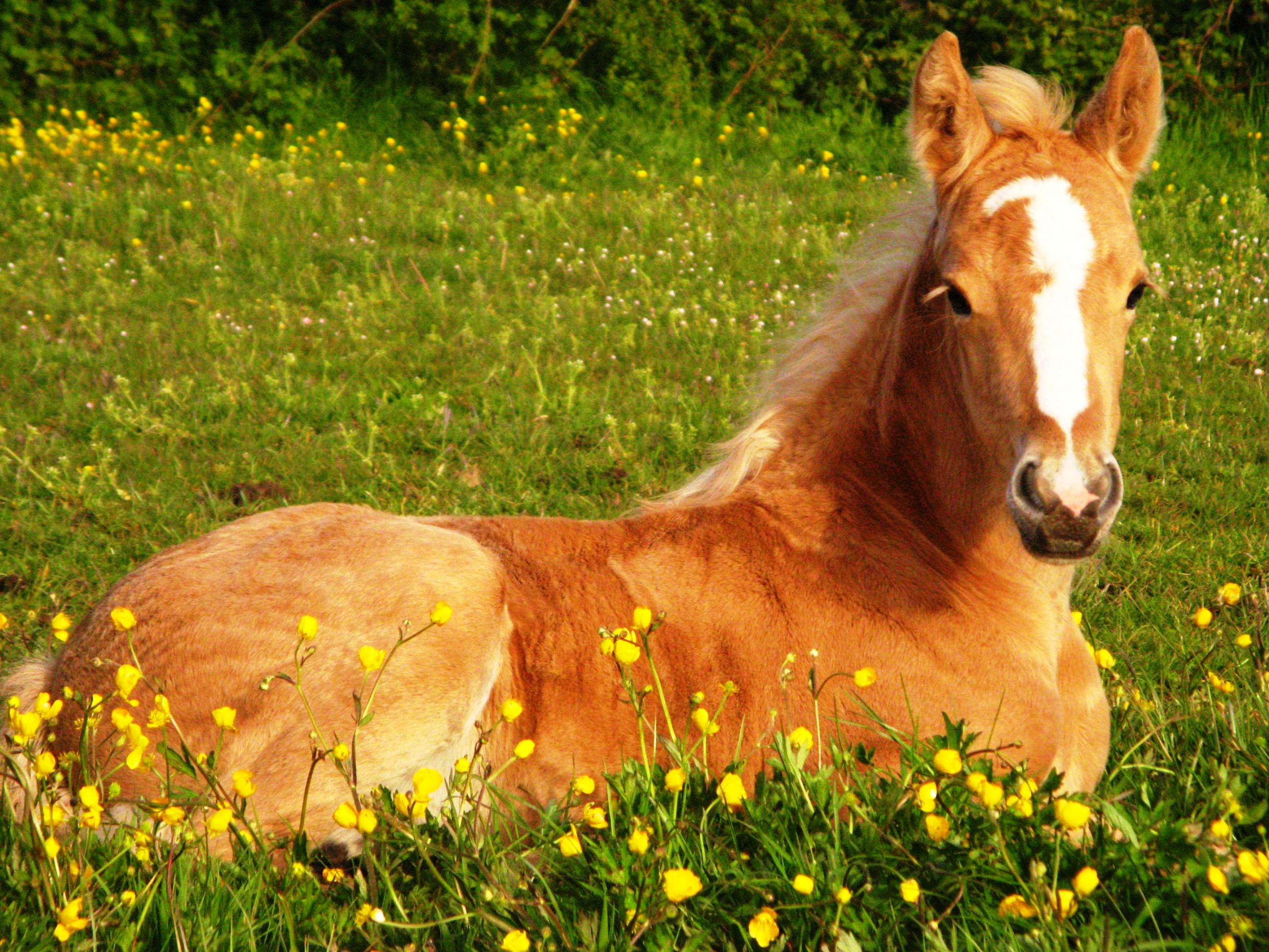 horses horse cute wallpapers palomino background foals golden animals thoroughbred foal pretty wallpapercave chevaux cave les poulain fonds ecran couche