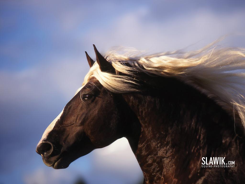 Slawik horse wallpapers - Horses Wallpaper (6070990) - Fanpop