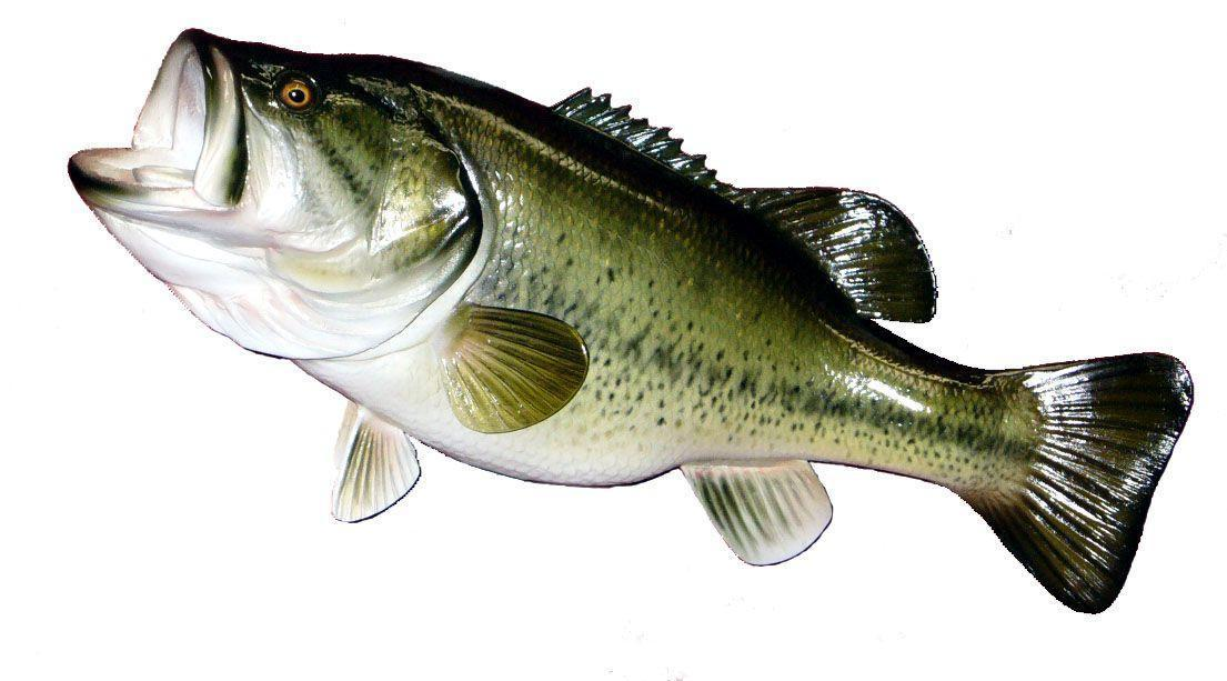 Large Mouth Bass Images 94