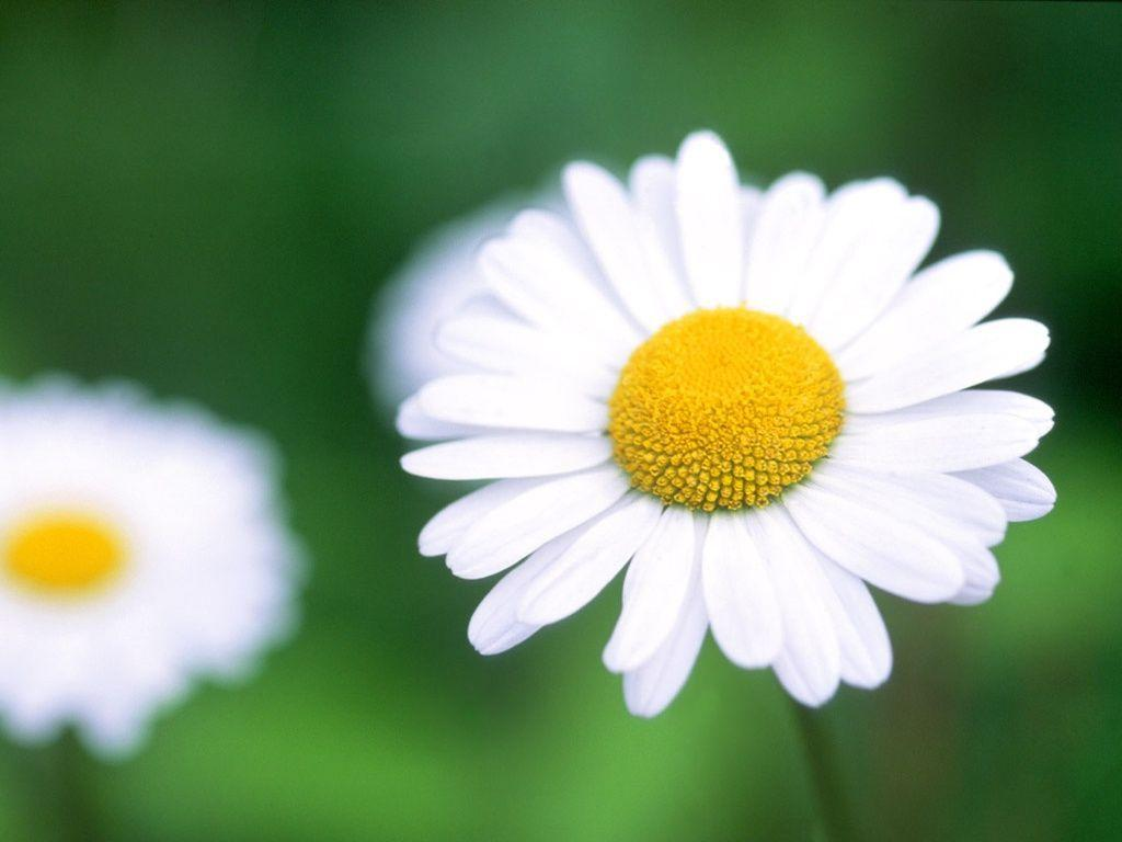 1024x768 Daisy desktop PC and Mac wallpapers