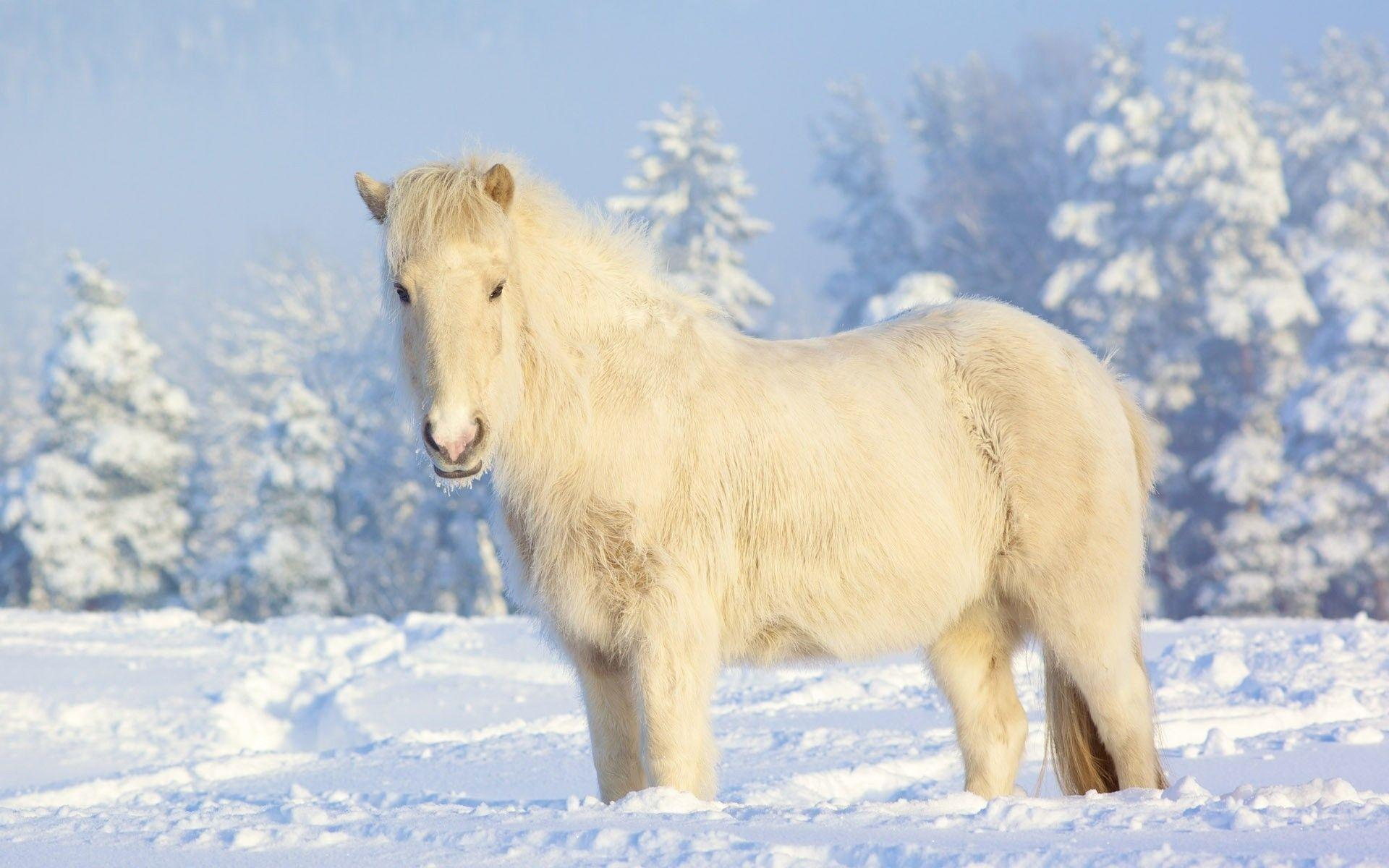 Beautiful White Horse Wallpapers