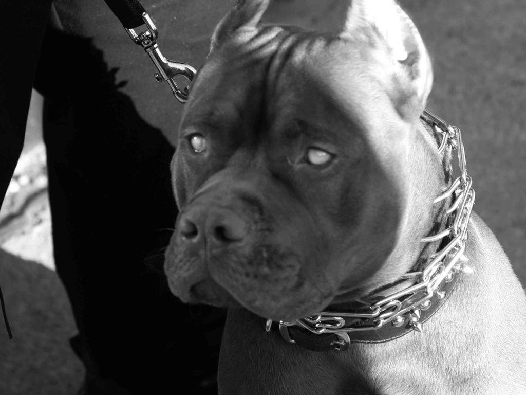 Pitbull Terrier Wallpaper - Viewing Gallery