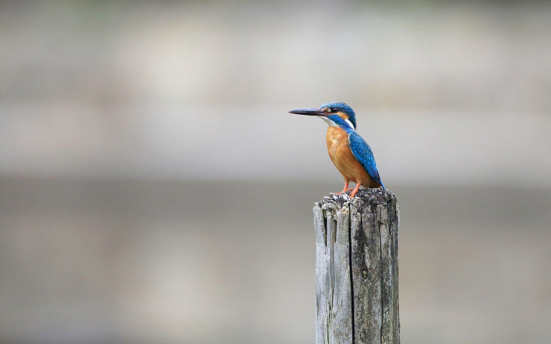 kingfisher wallpapers hd - photo #12