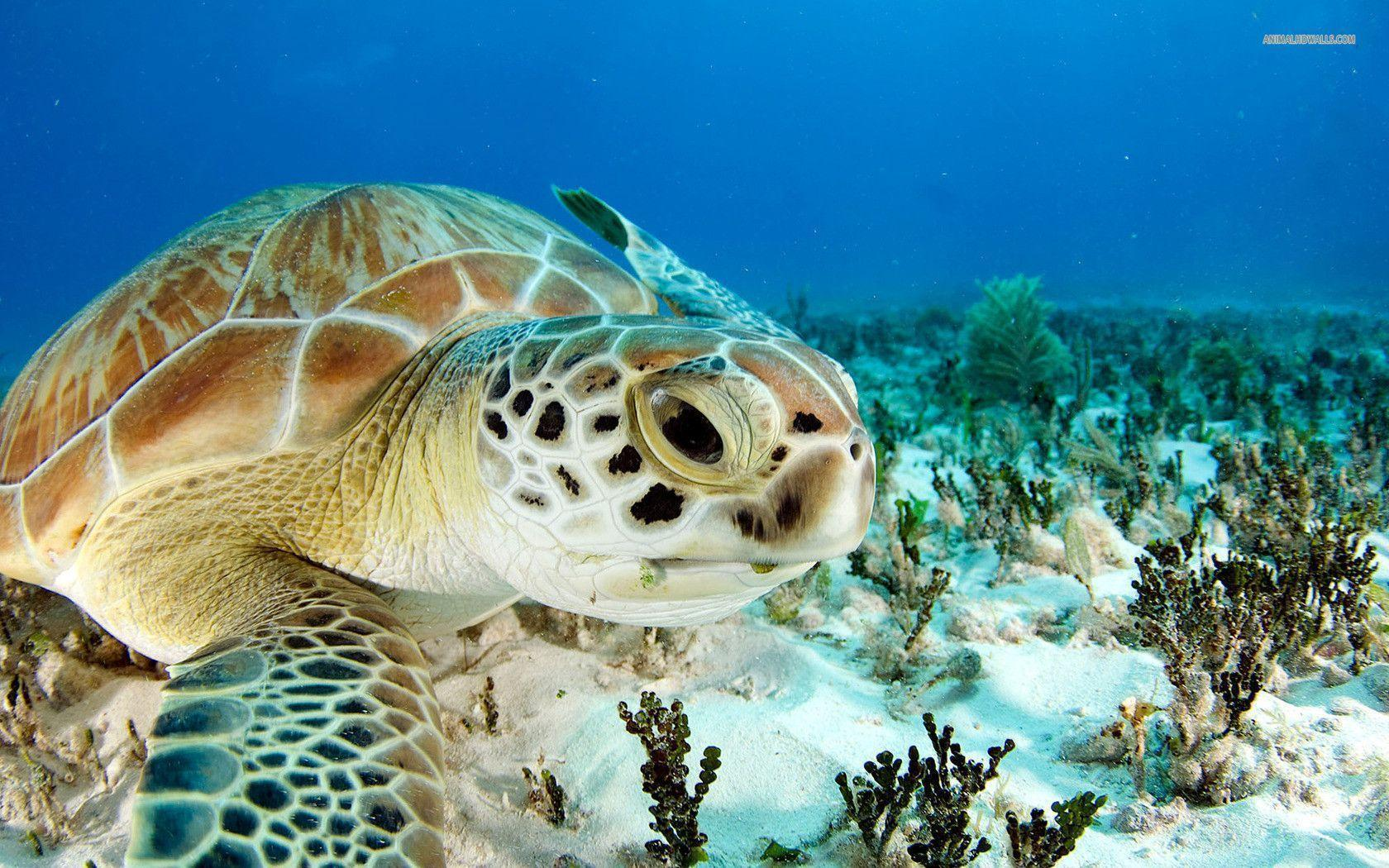 Sea Turtle In High Definition Wallpapers 1680 1050 Pixel Car Pictures