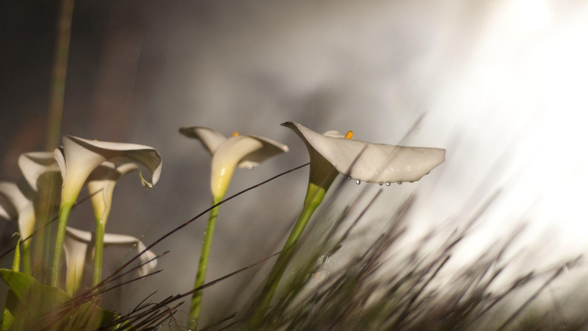 desktop backgrounds lily - photo #45