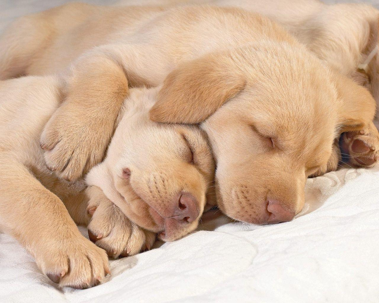 1280x1024 Sleeping puppies desktop PC and Mac wallpaper