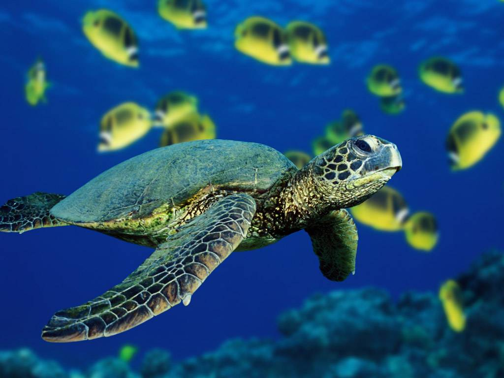 Vista Wallpapers Green Sea Turtle