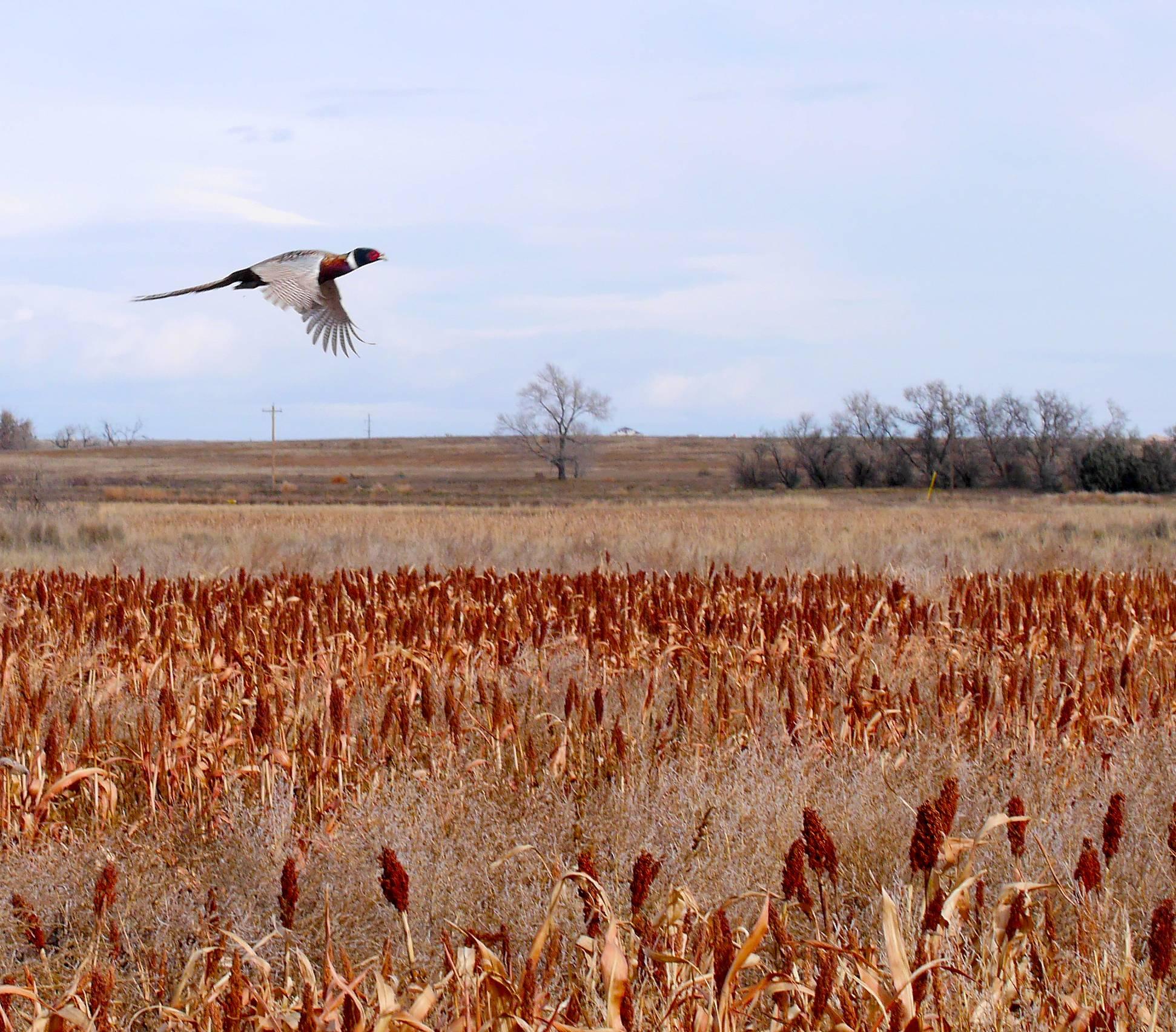 Free Pheasant Hunting Wallpaper - WallpaperSafari