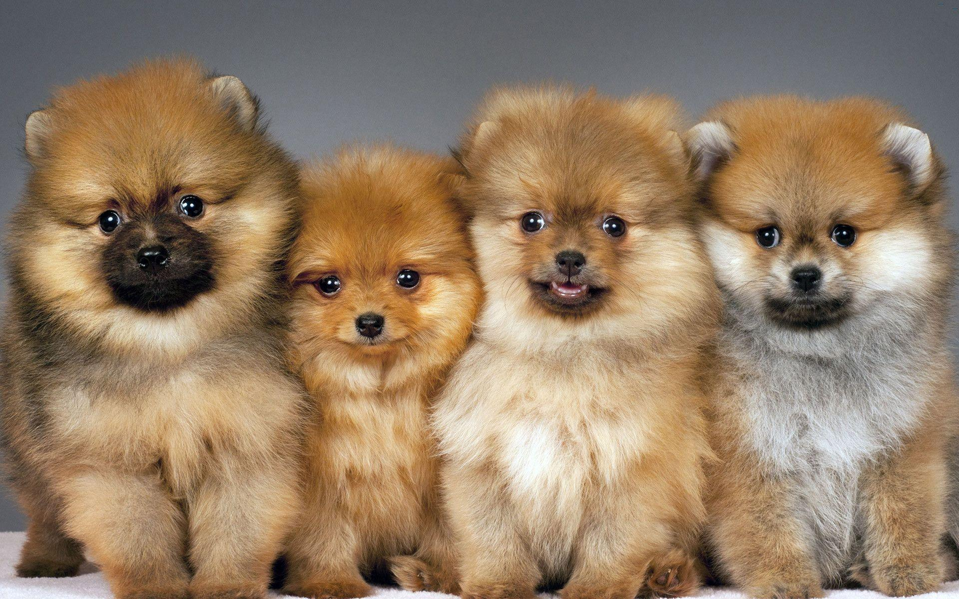 free pomeranian puppy wallpaper - photo #11