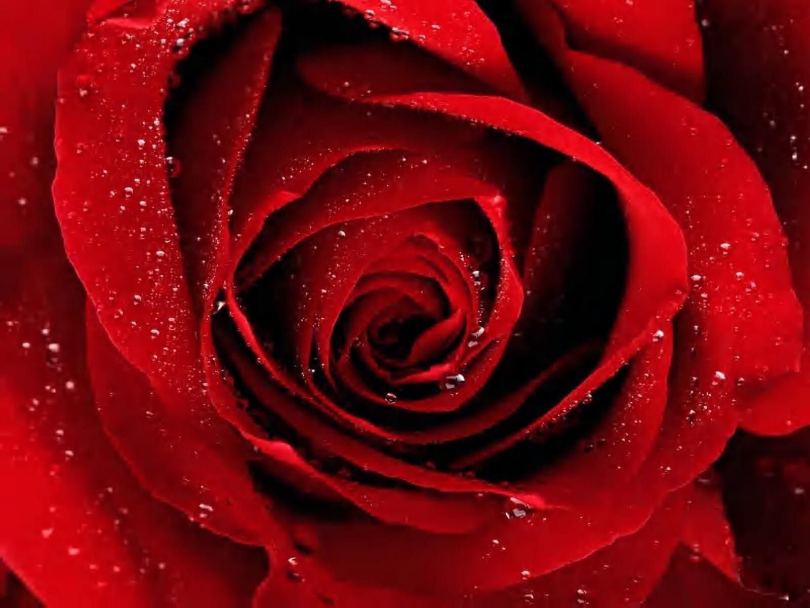 Red Rose Black Backgrounds