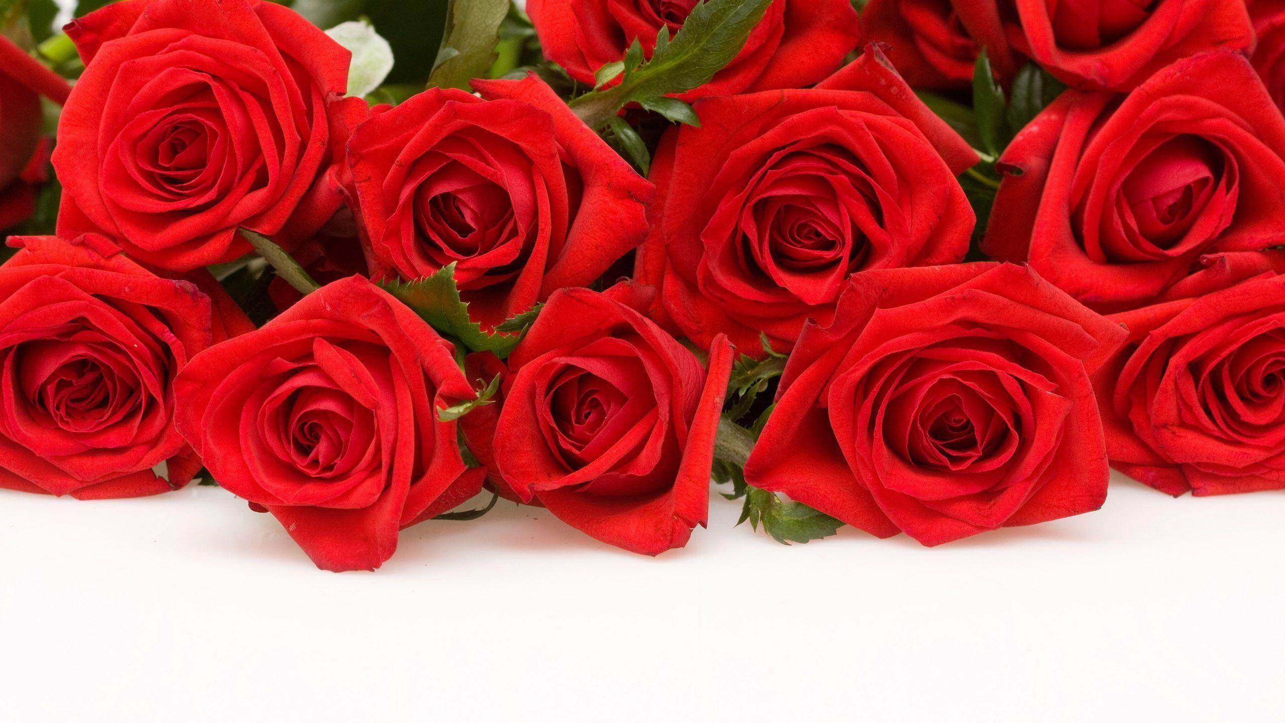 Red Rose With White Background Wallpaper