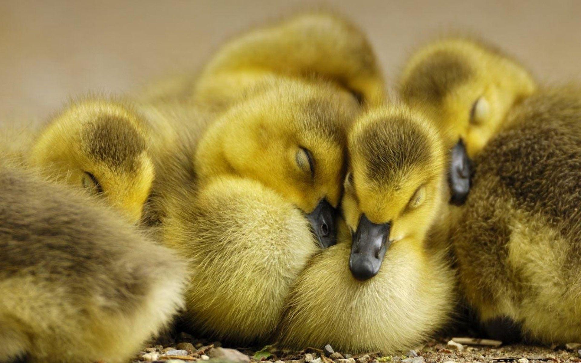 Baby Duck Wallpapers - Wallpaper Cave