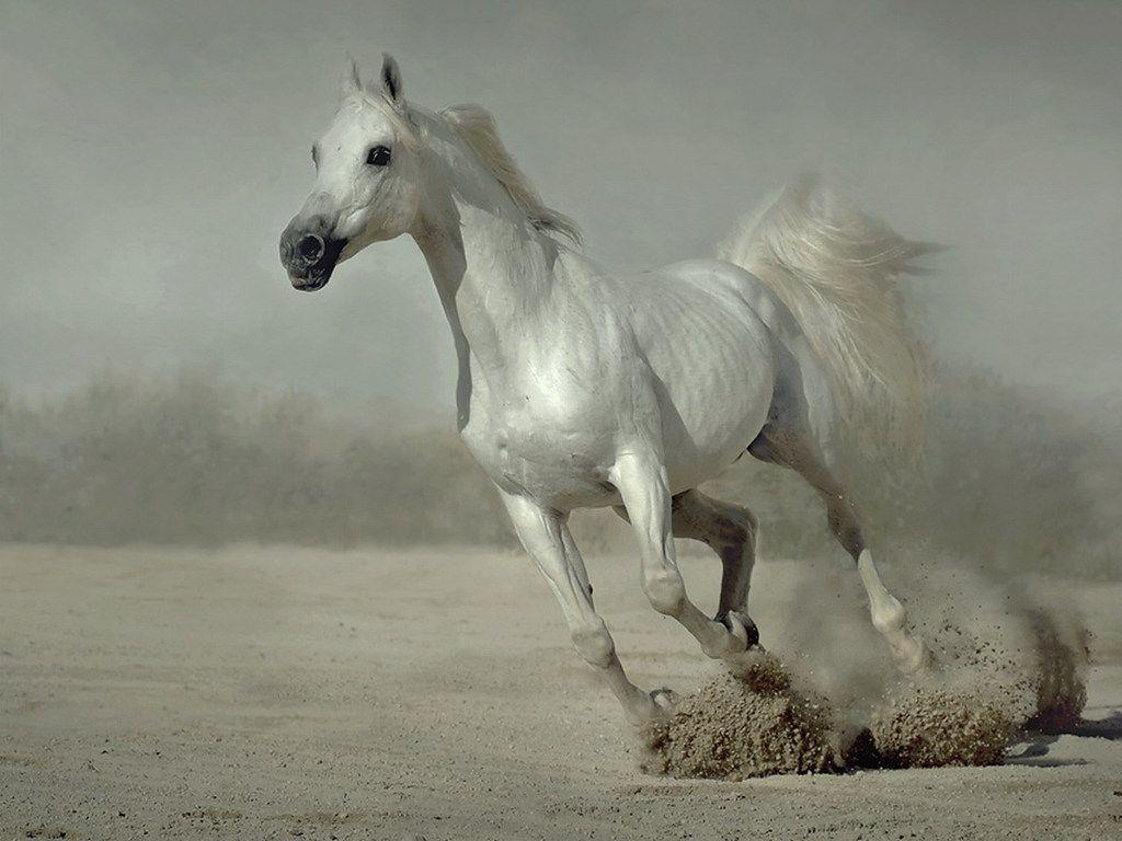 Horse White Best HD Wallpapers Android Wallpapers computer