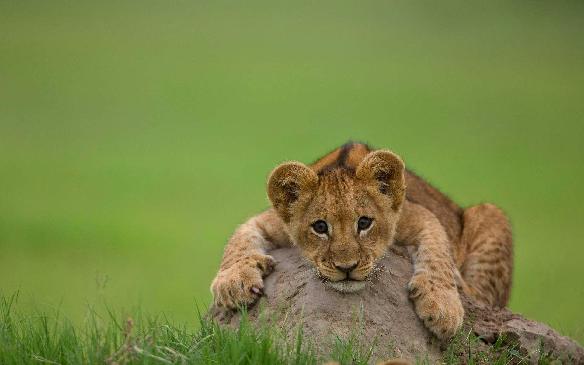 Lion Cubs Wallpapers Wallpaper Cave