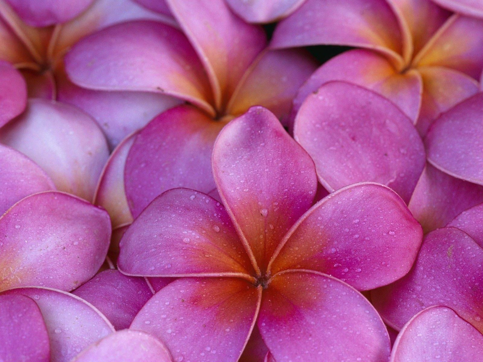 Images For Hawaiian Flower Background