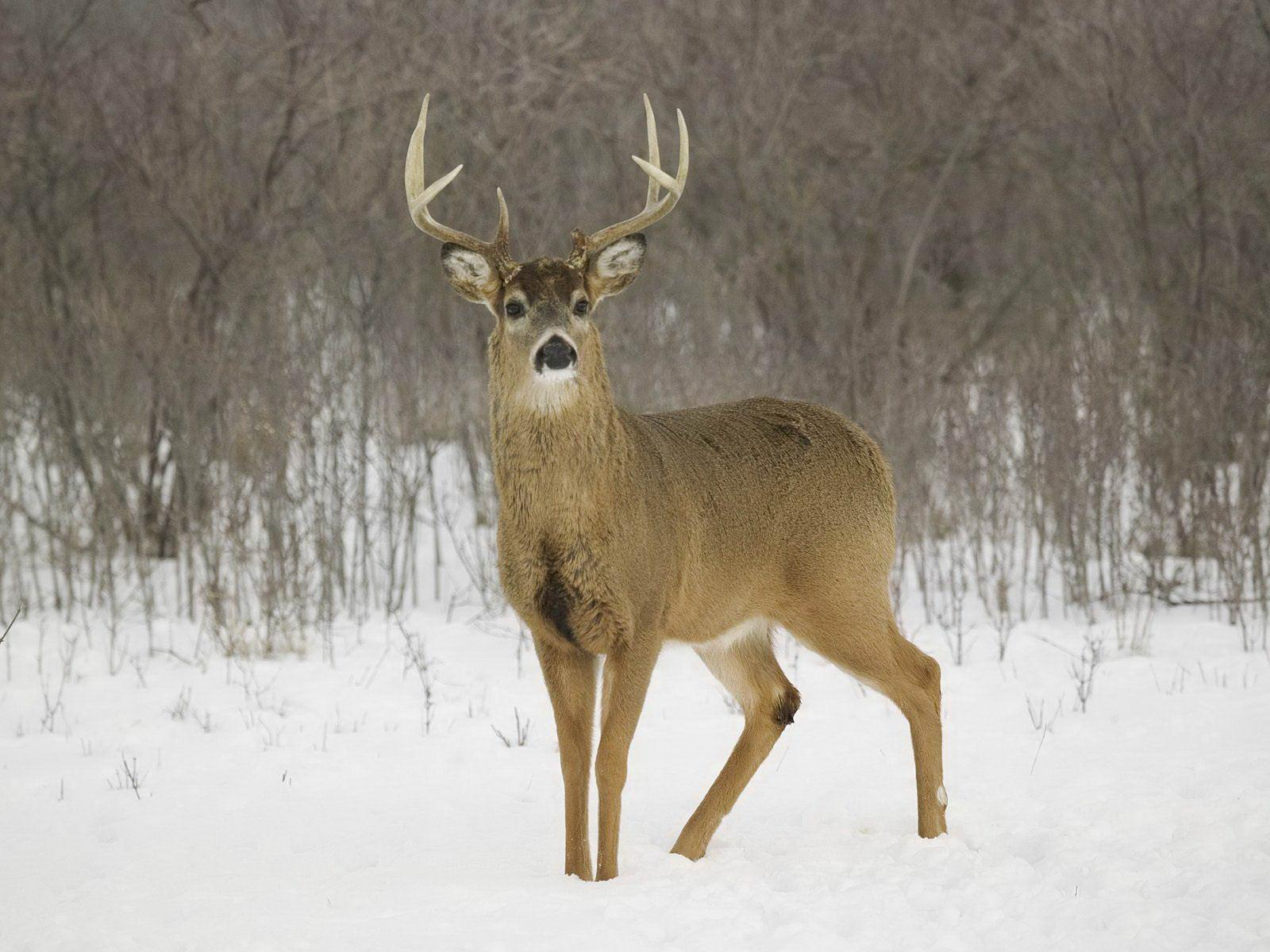 Whitetail Deer Pictures Wallpapers and Backgrounds