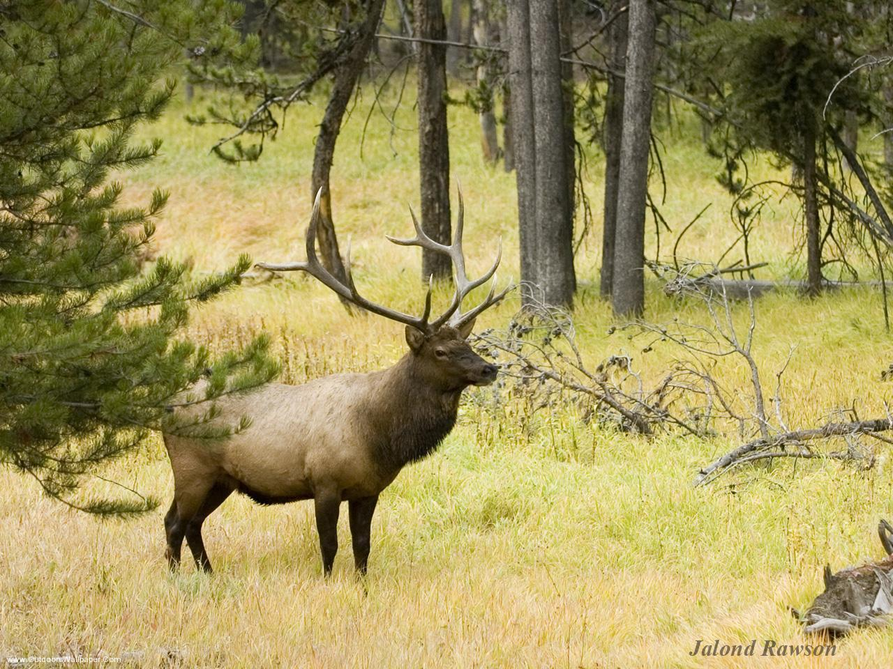 <b>Elk</b> Hunting <b>Wallpaper</b> - WallpaperSafari