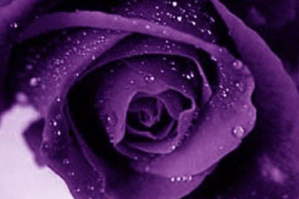 wallpapers of purple roses - photo #12