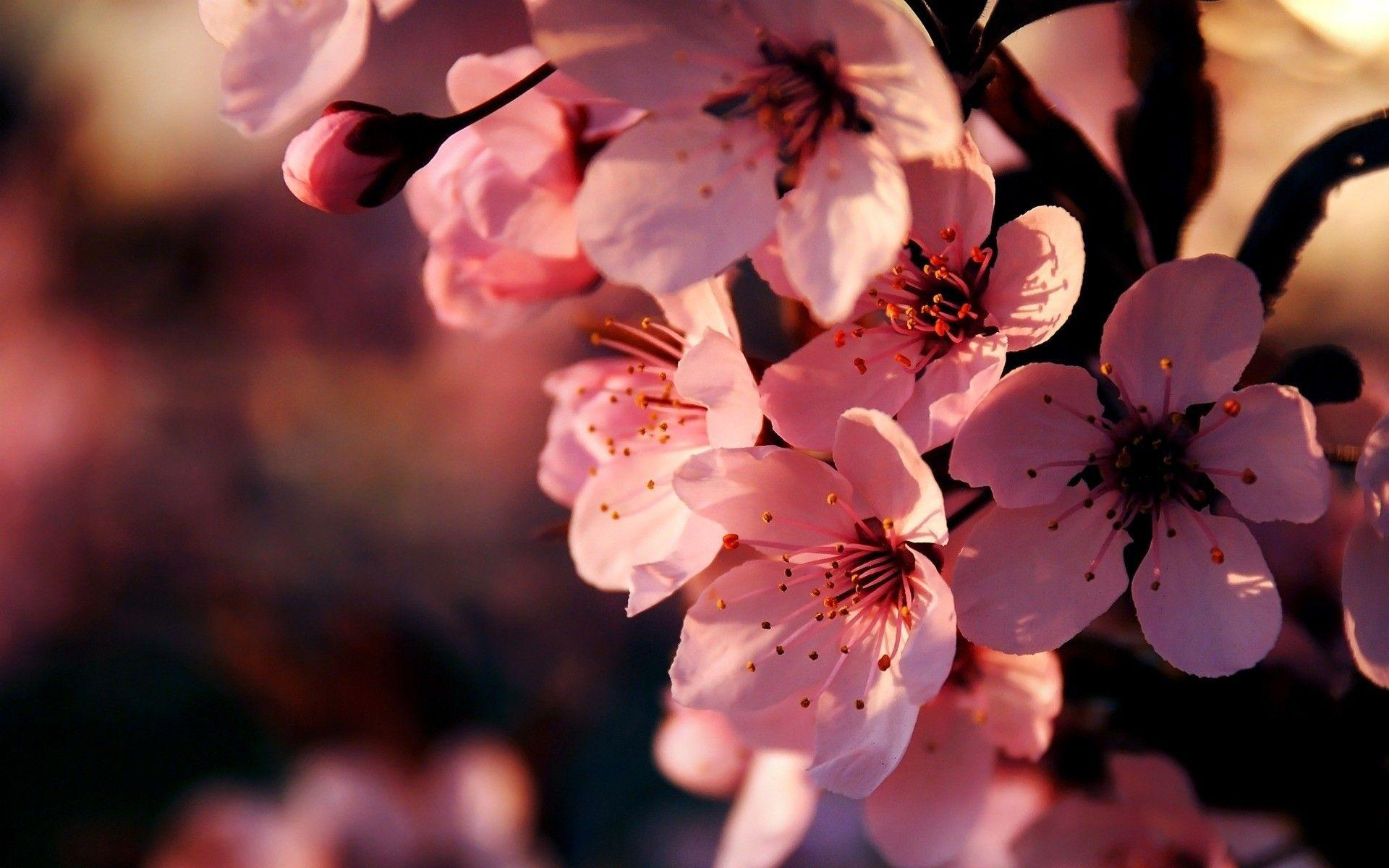 Pink Flower Widescreen HD Wallpapers - HD Wallpapers Inn