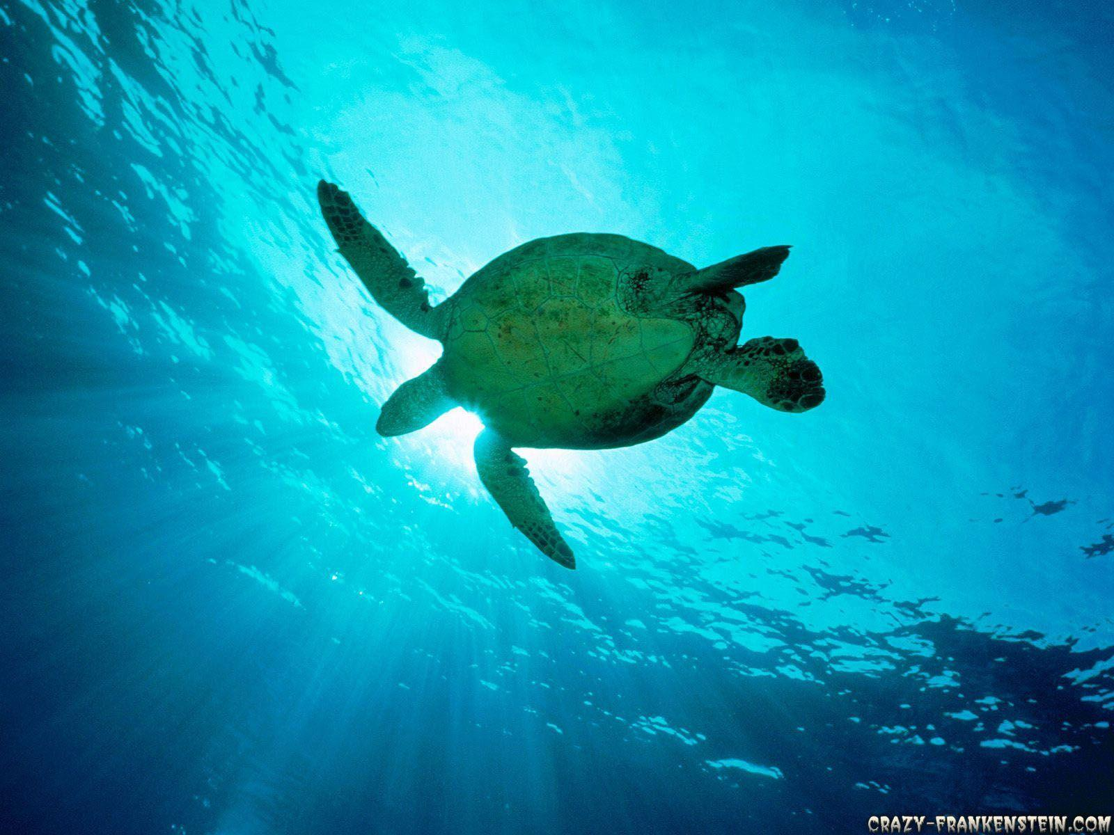 Wallpapers For > Sea Turtle Wallpapers