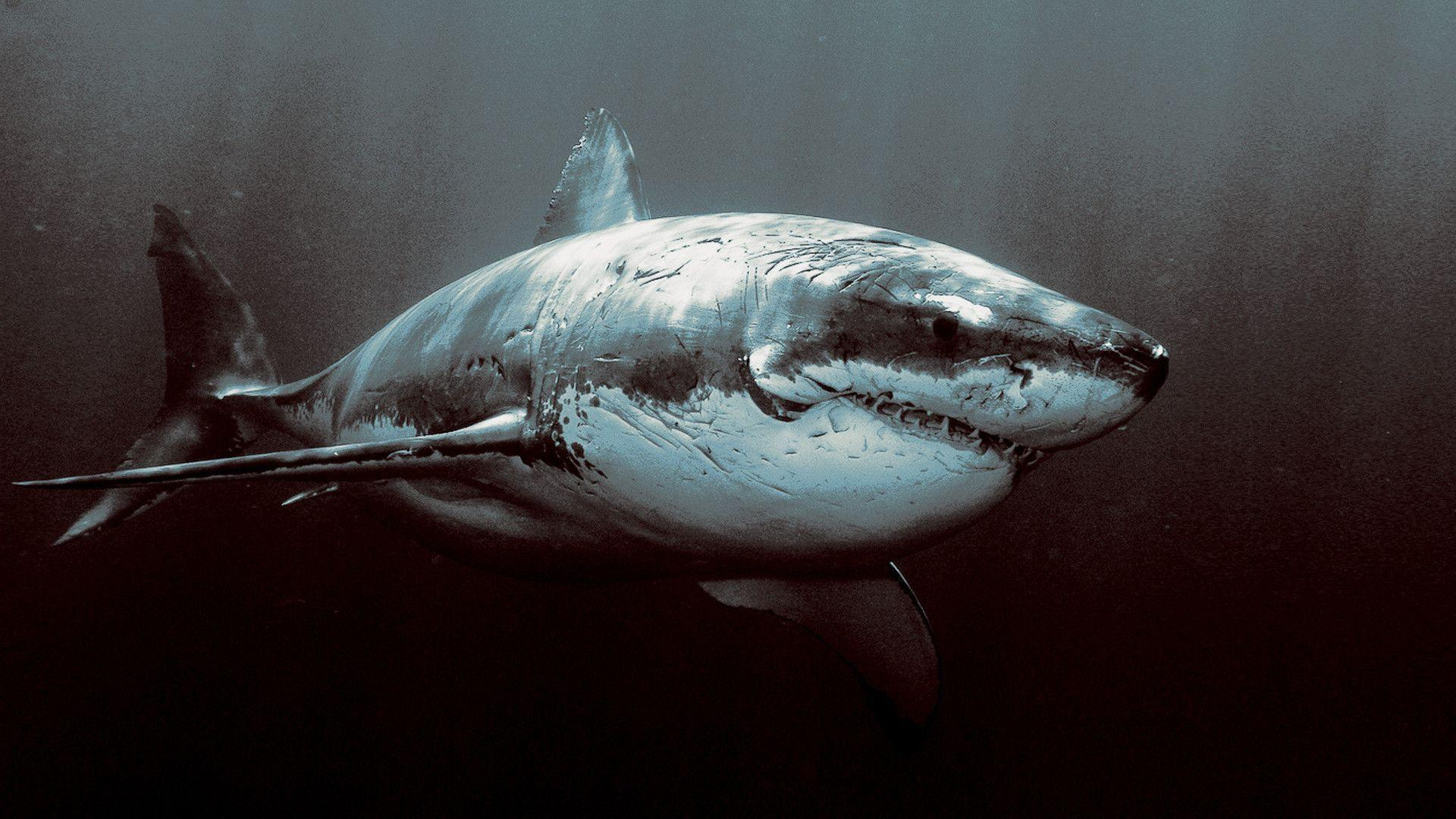 great white shark wallpapers widescreen download free 4k ...