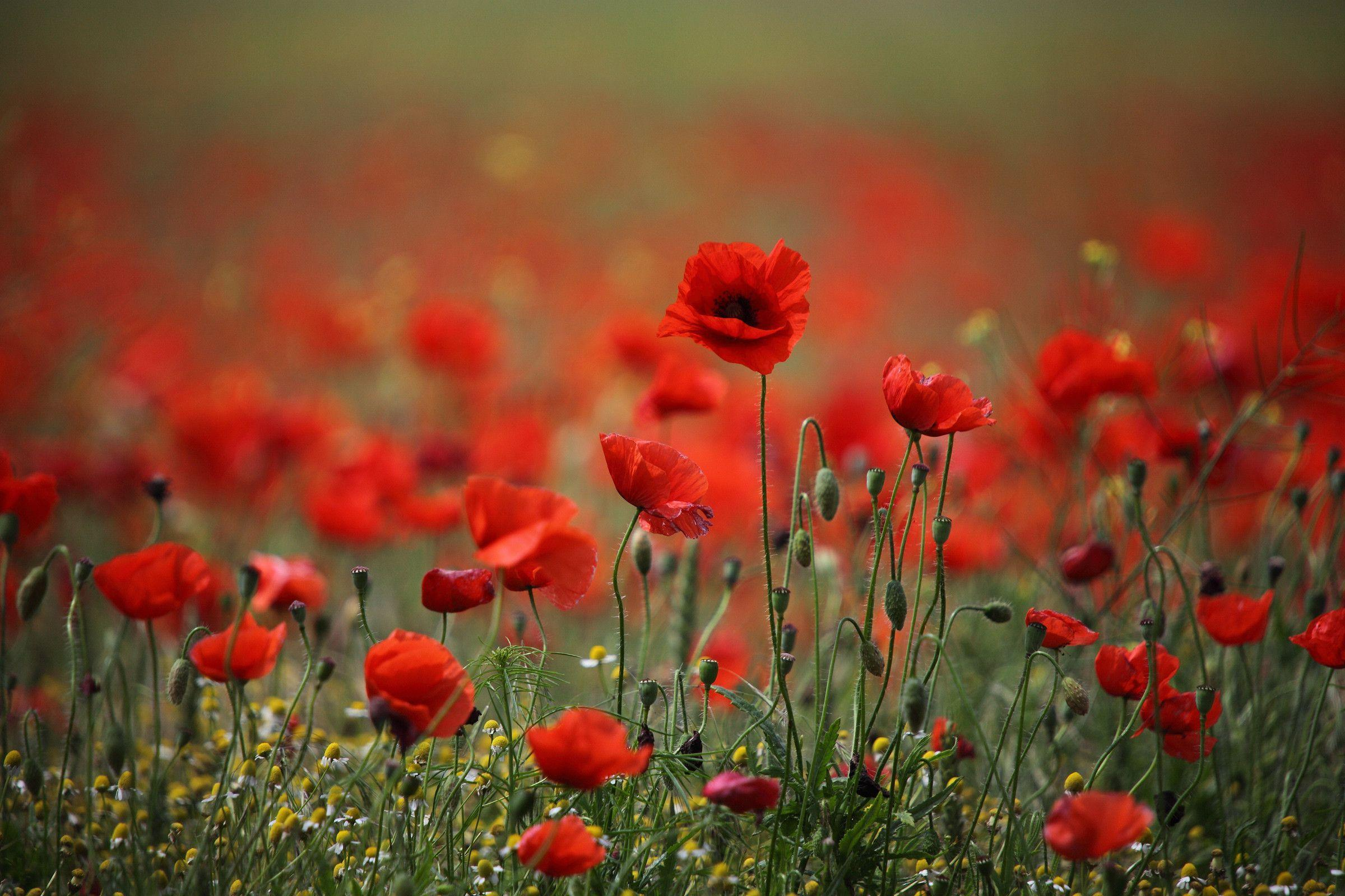 Red poppy wallpapers wallpaper cave - Poppy wallpaper ...