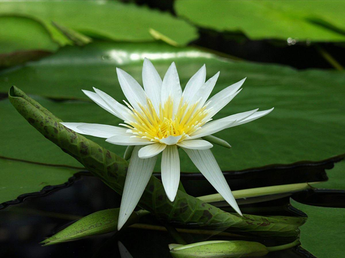 Flowers For > White Lotus Flower Wallpapers