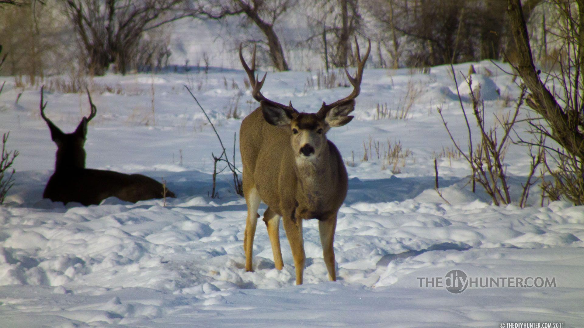deer wallpaper for my desktop - photo #44