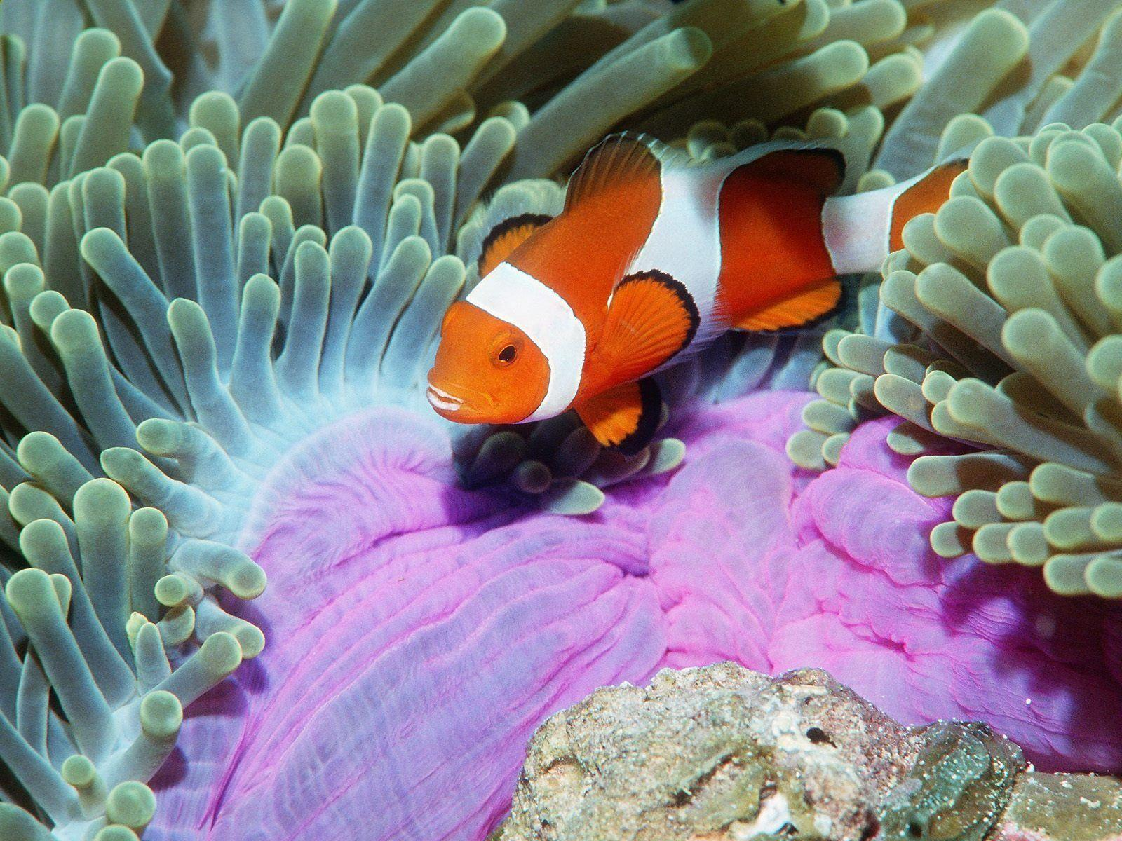 Animals Backgrounds Clown Fish Fishes Wallpapers Winter taken from