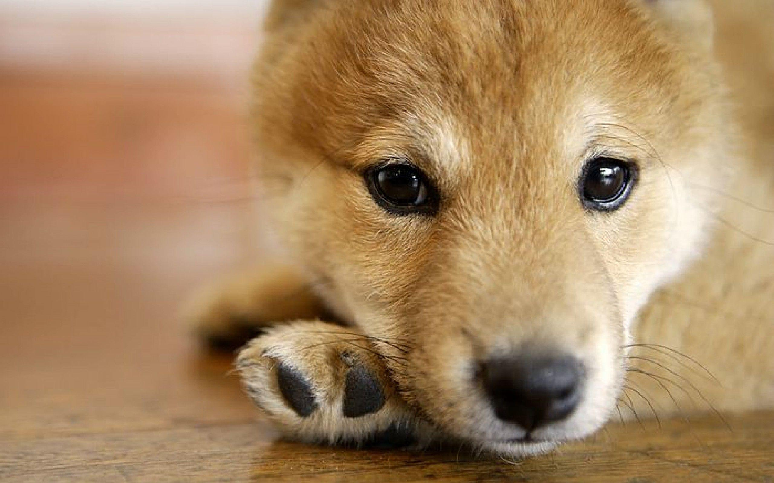 Shiba Inu Wallpapers Wallpaper Cave