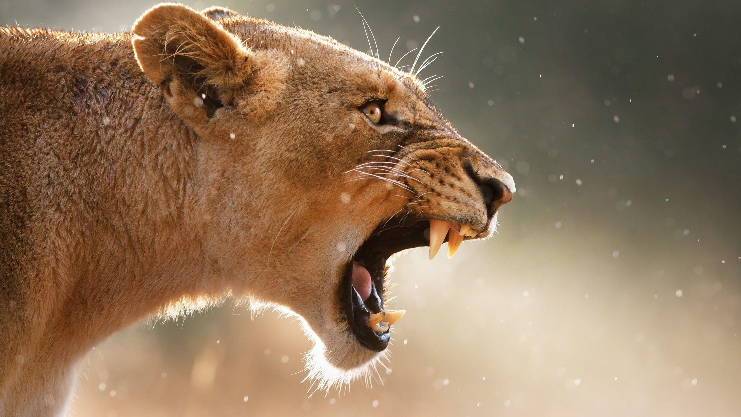 lioness wallpapers wallpaper cave