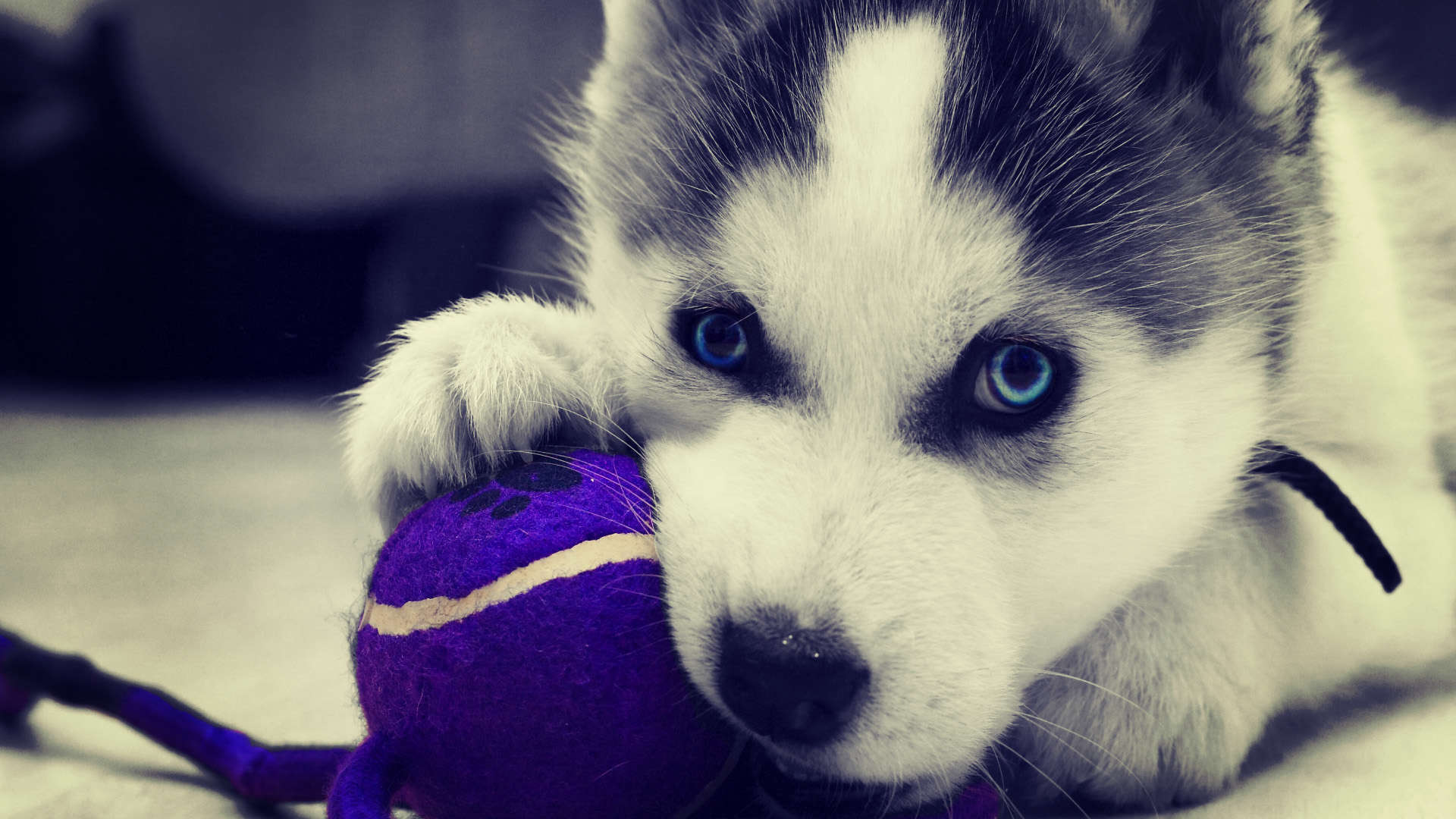 cute husky puppies hd - photo #6