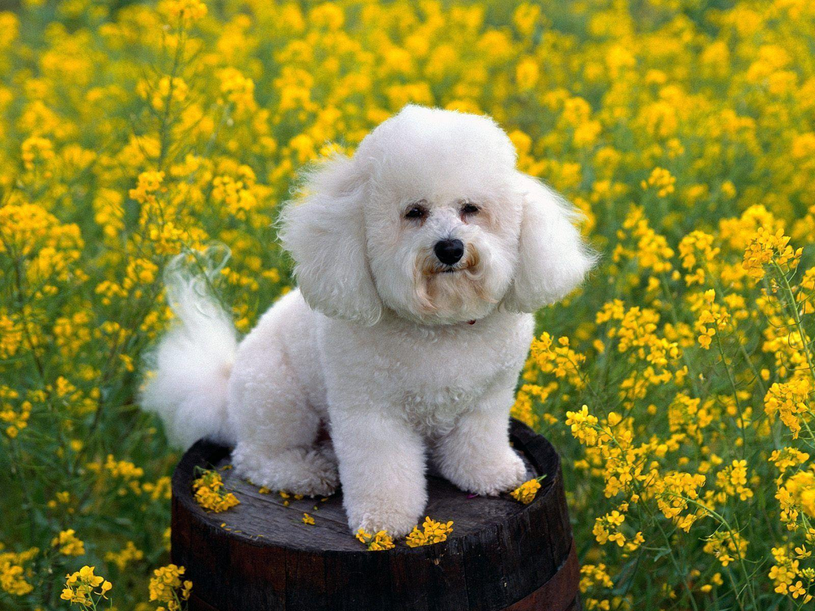 Free wallpapers Bichon frise small white dog in flowers