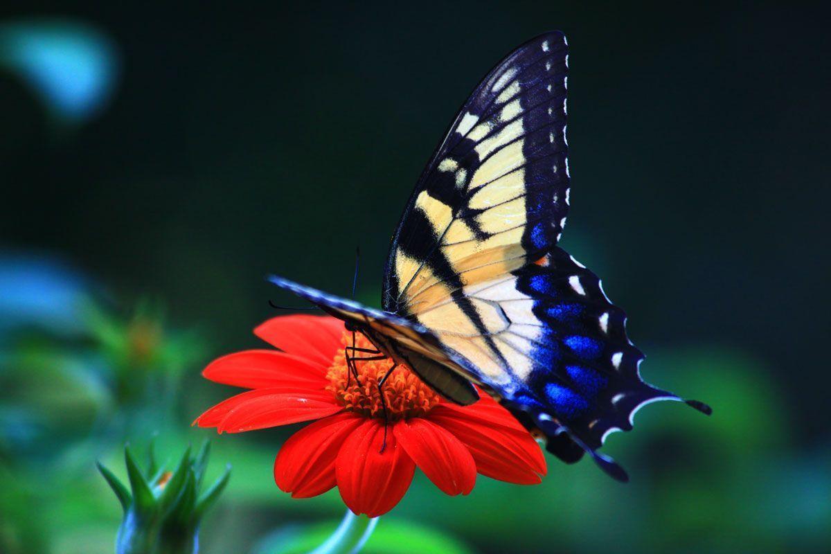 beautiful butterfly hd desktop - photo #12