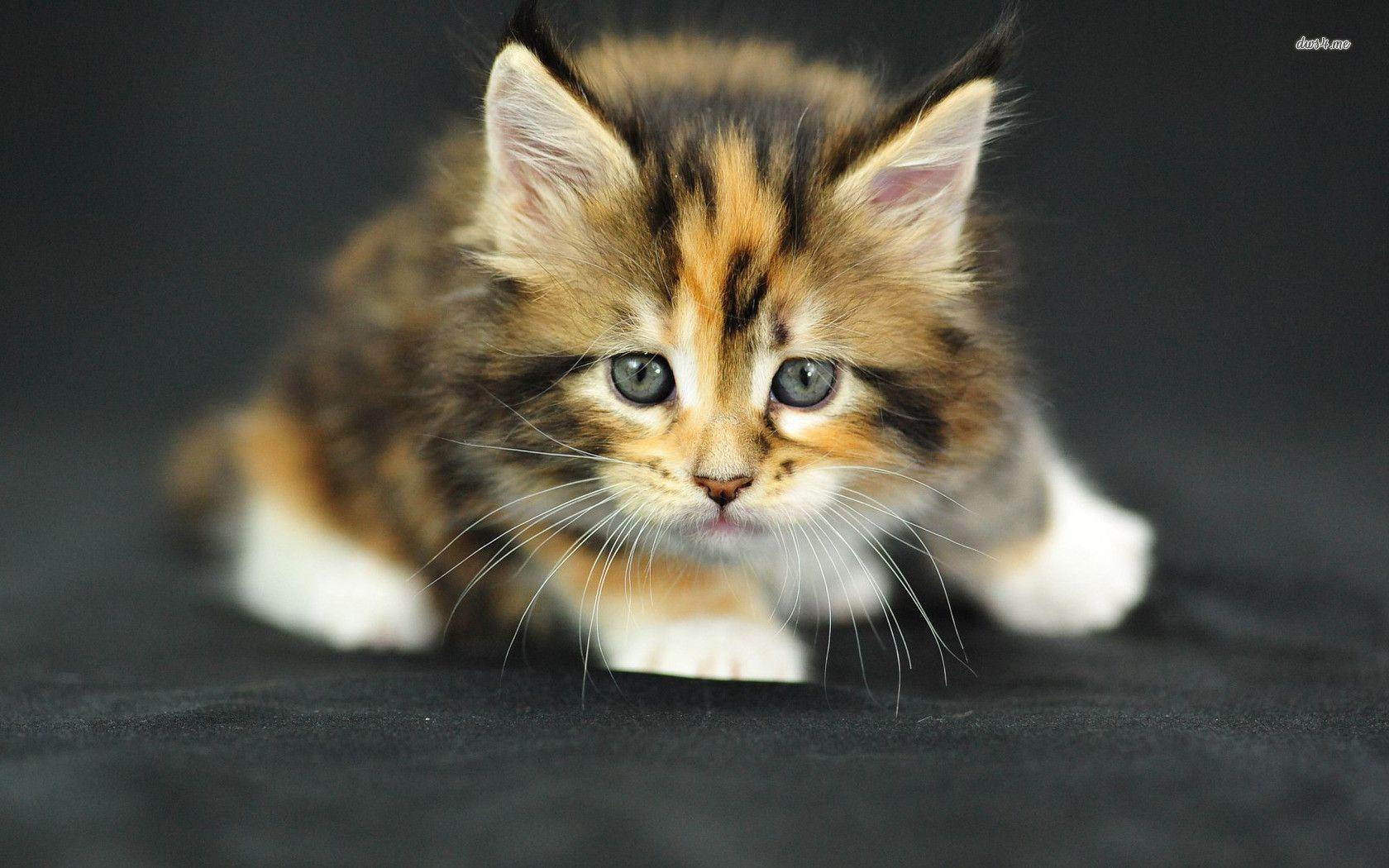 Cute Kitten wallpaper - Animal wallpapers - #