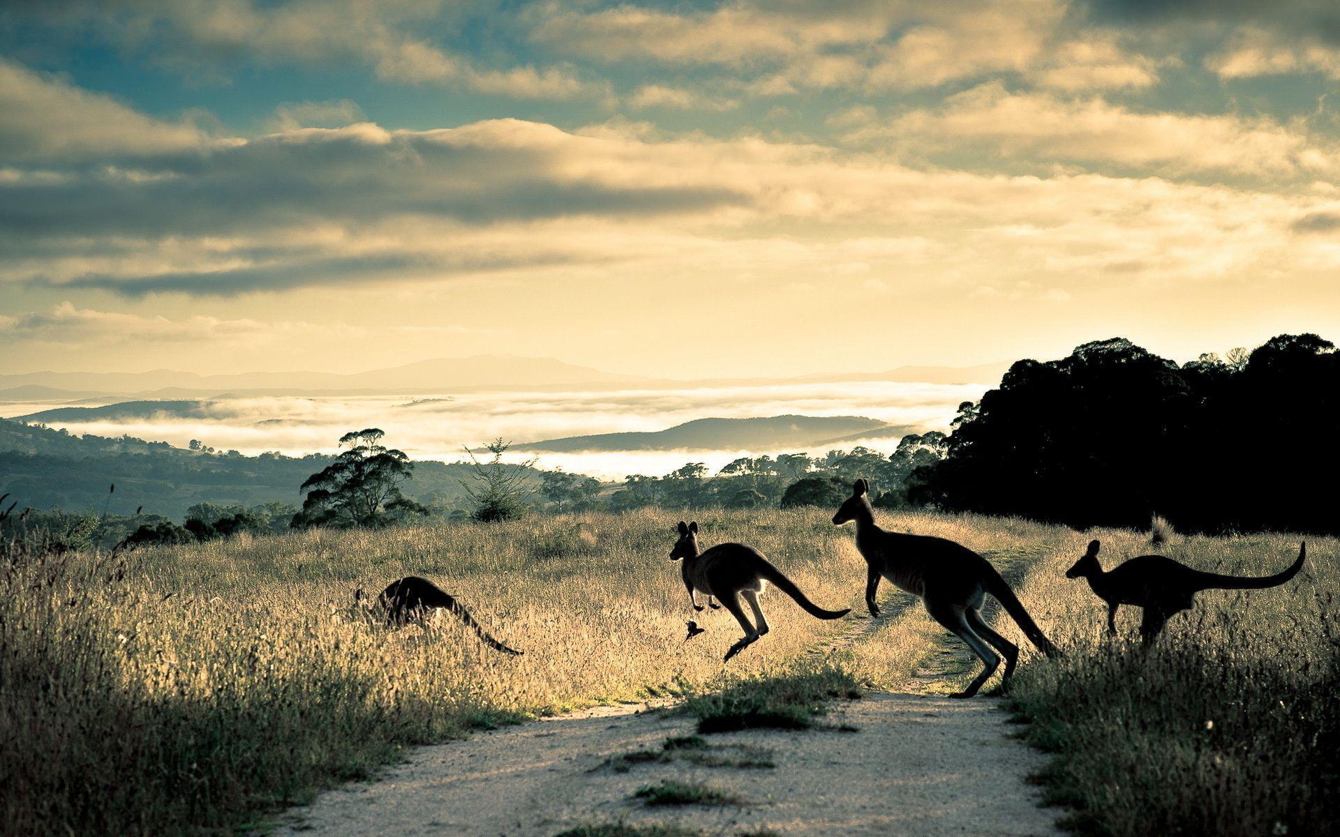 Kangaroo Wallpaper 8972 1920x1200 px ~ FreeWallSource.