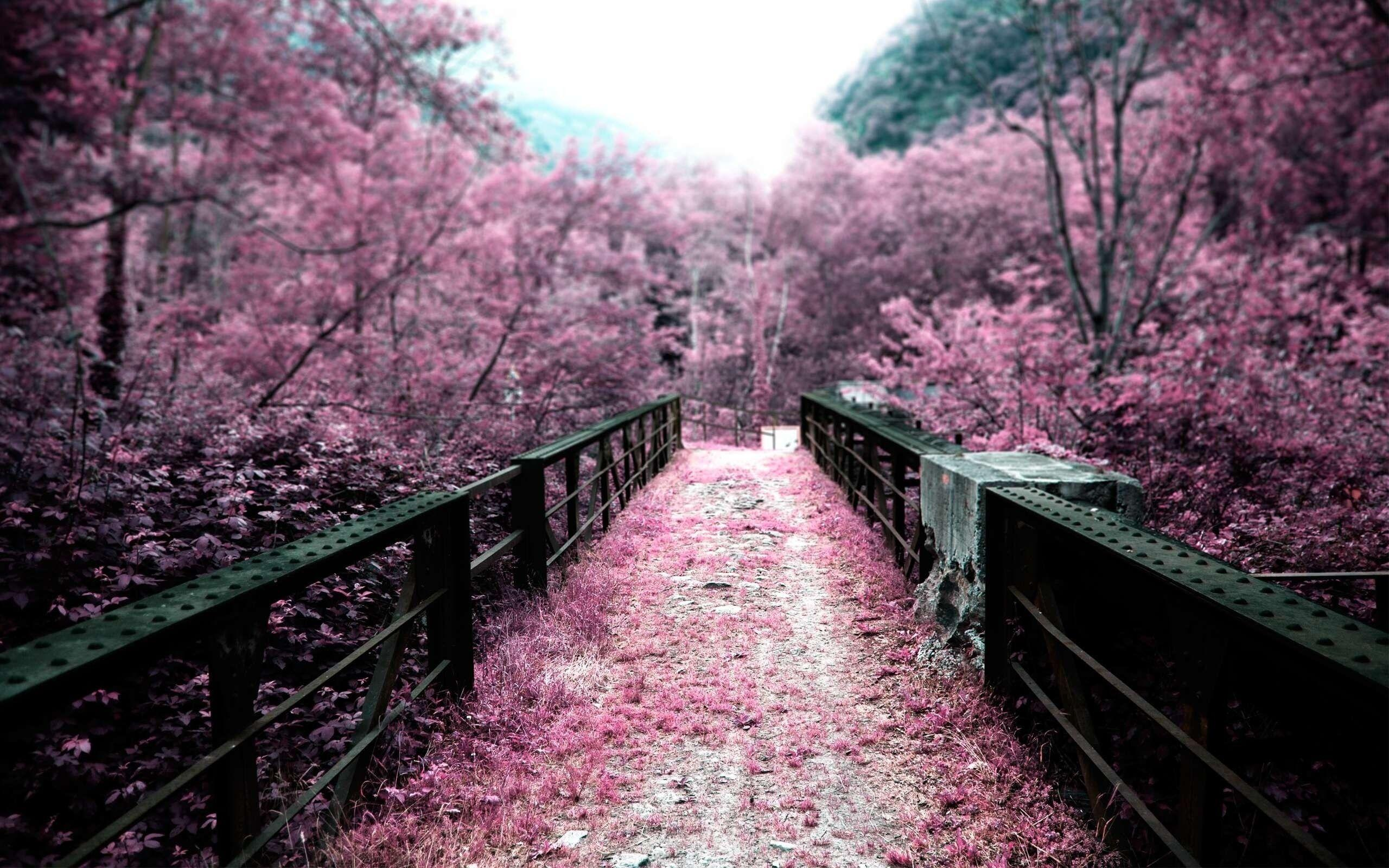 Cherry blossoms bridges depth of field selective coloring pink ...