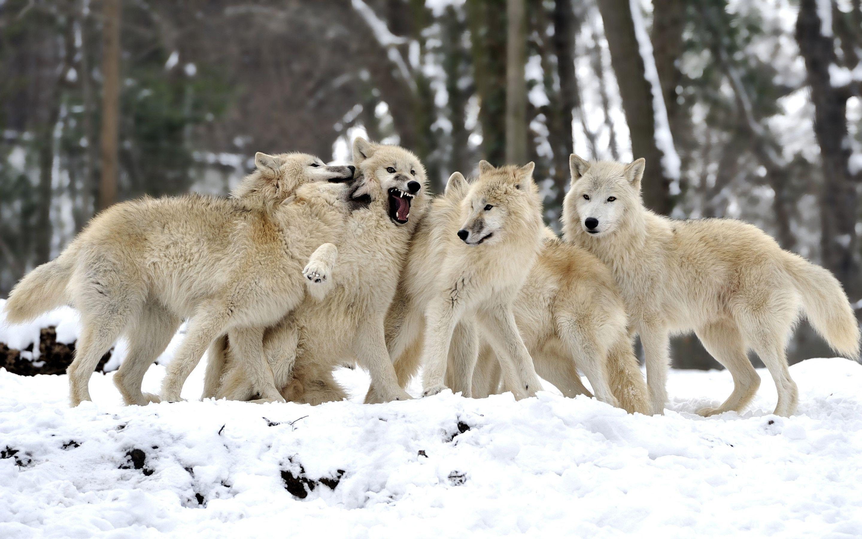 Wolf Fantasy Wallpapers Group (82 )