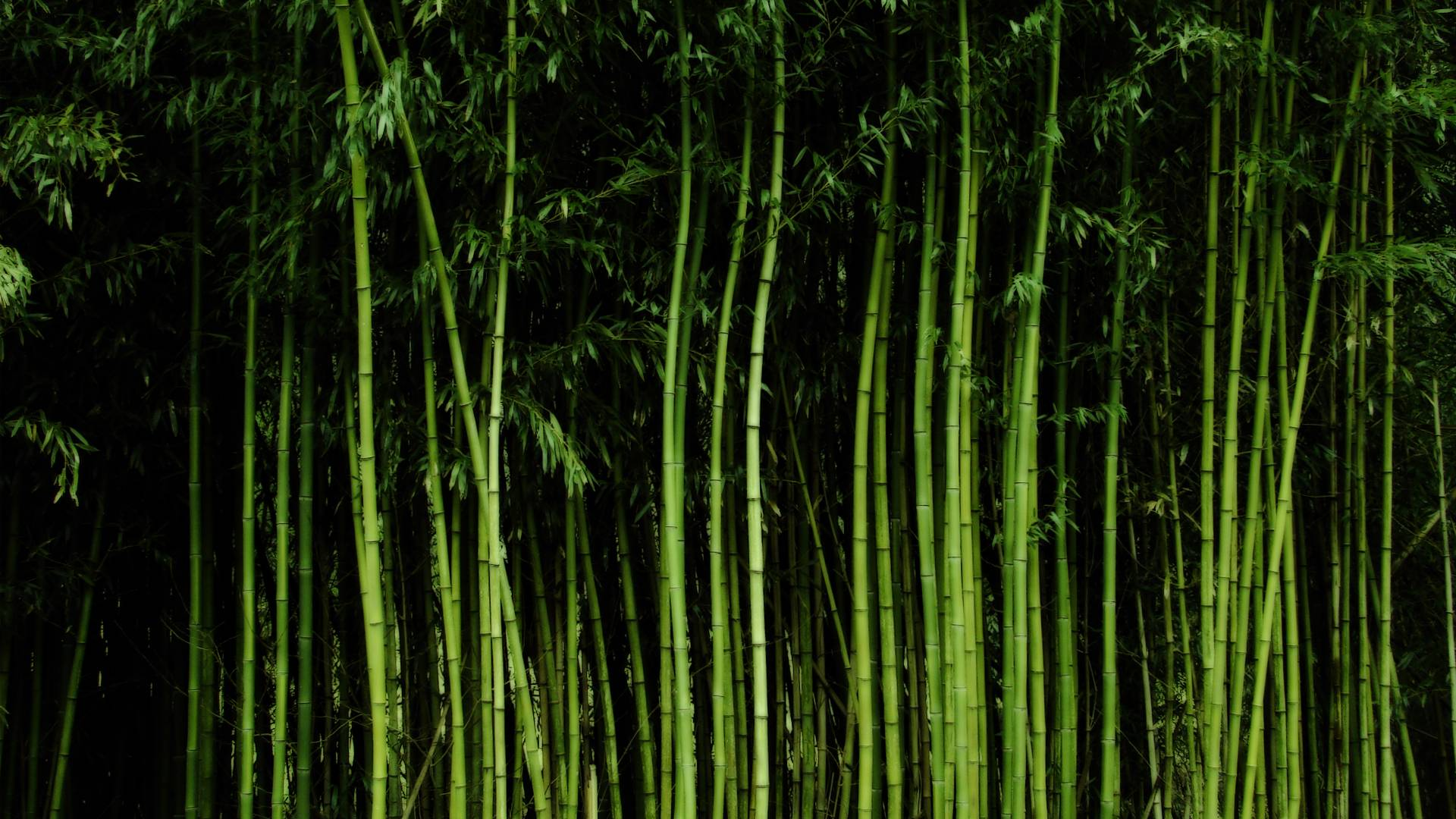 bamboo wallpaper by doantrangnguyen -#main