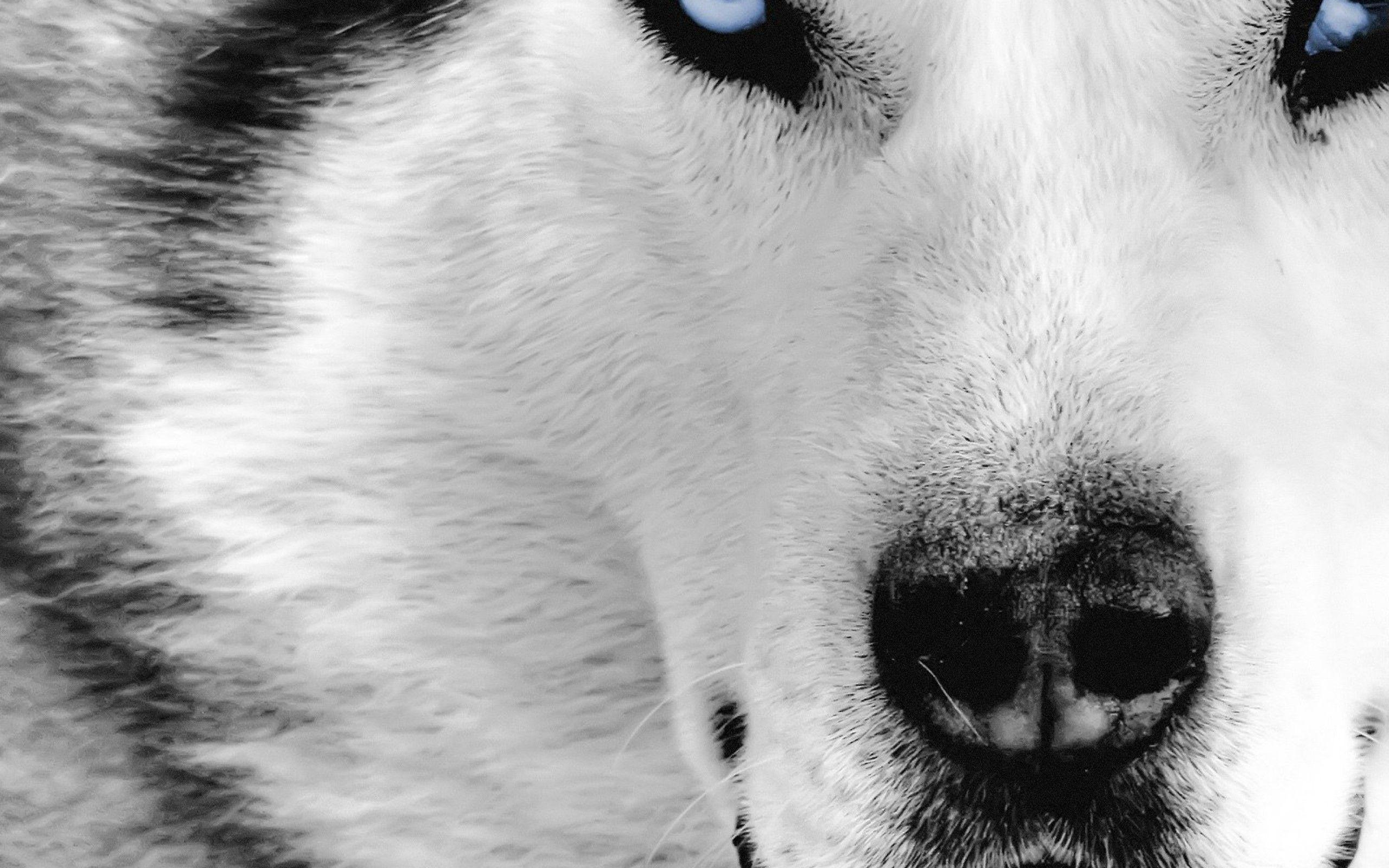 FUNNYWOLFPICTURES | Siberian Husky Wolf HD Wallpapers Download ...