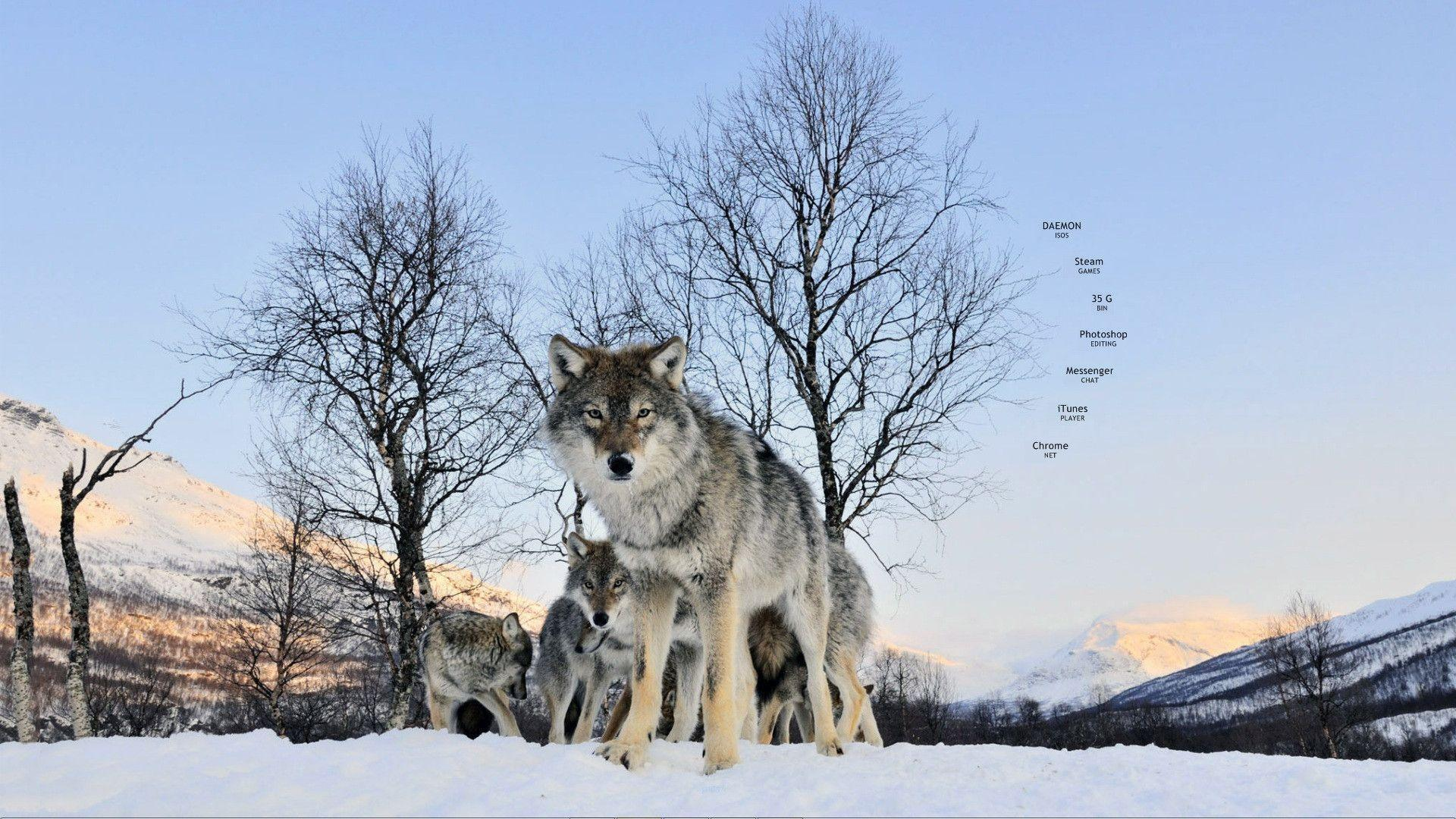 Download Wolf Wallpaper 1920x1080 | Wallpoper #316382