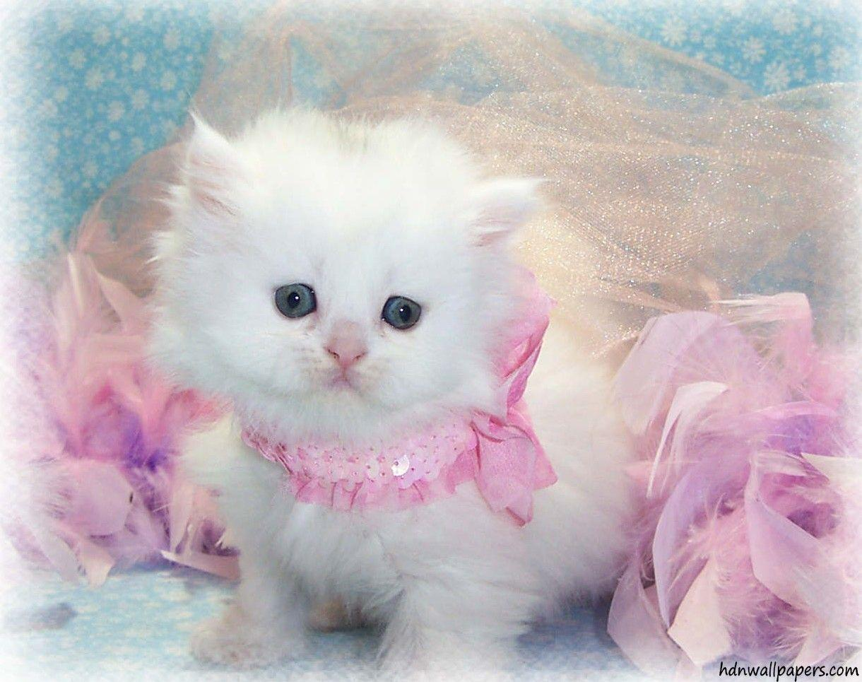 Cute Kitten Wallpapers Free Download For PC