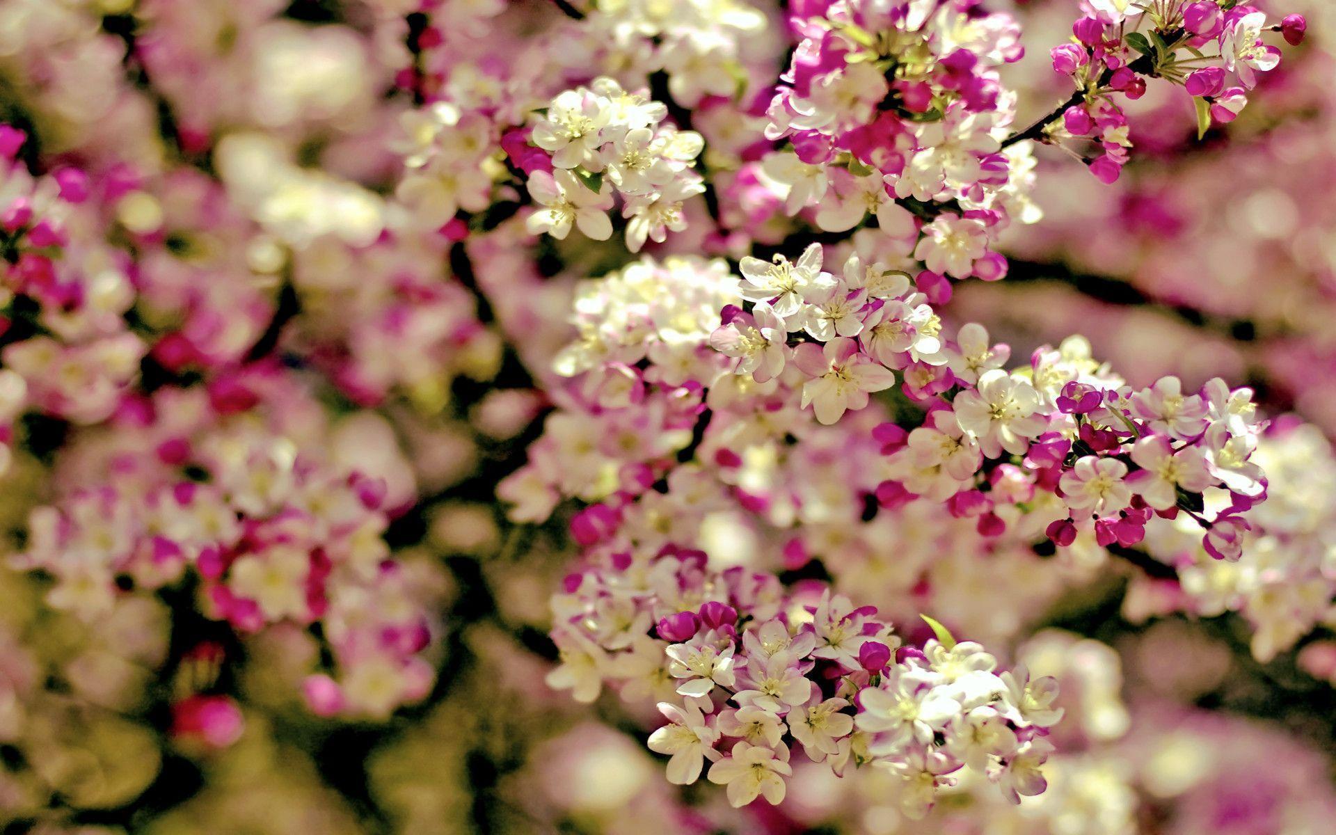 Cherry Blossom Tree wallpaper - 1113694