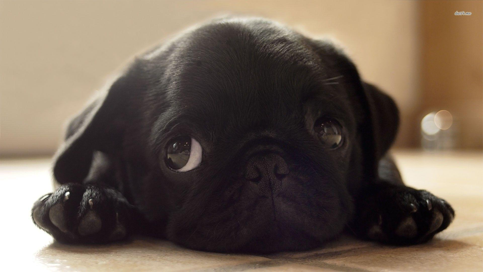 Pug Puppy Wallpapers - Wallpaper Cave