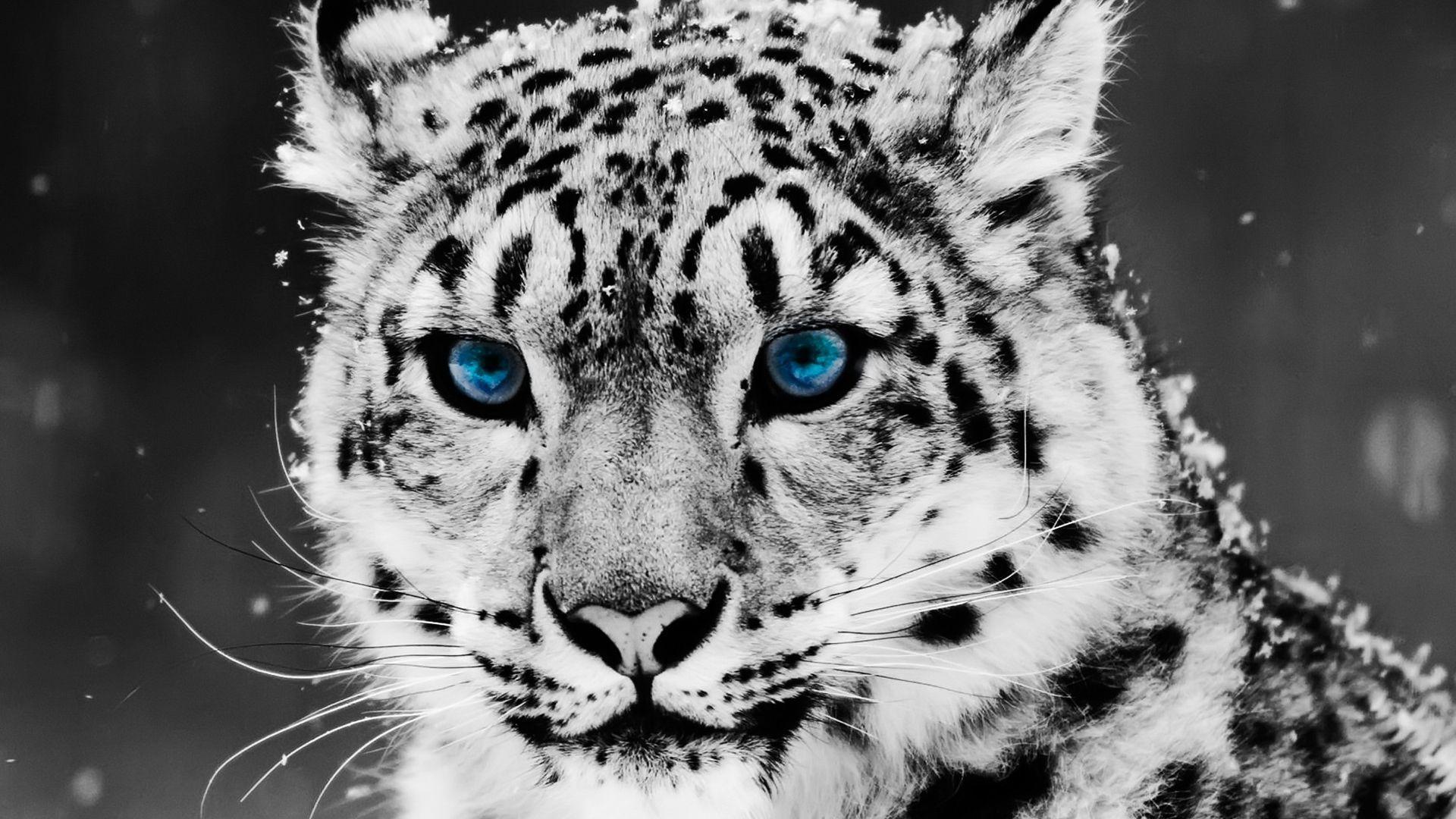Desktop Hd White Tiger Background Images
