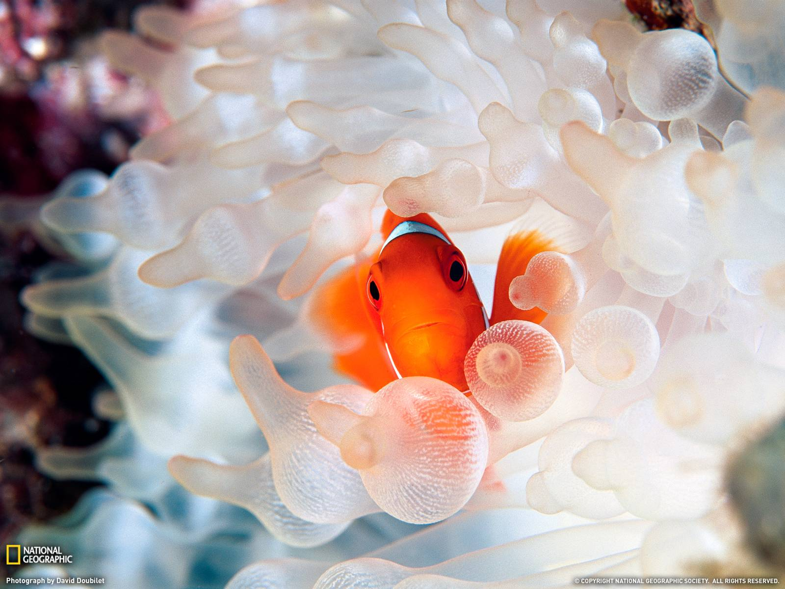 Clownfish and Anemone Photo, Underwater Wallpapers – National